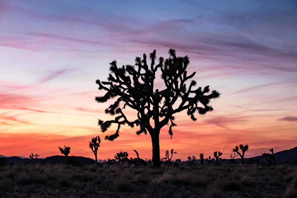 The iconic Joshua Tree captured during sunset.