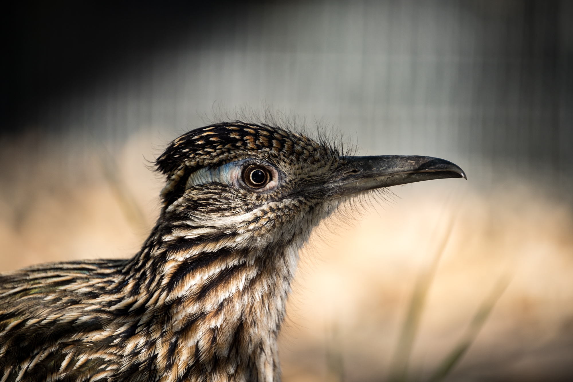 A healthy looking roadrunner at the Desert Museum.