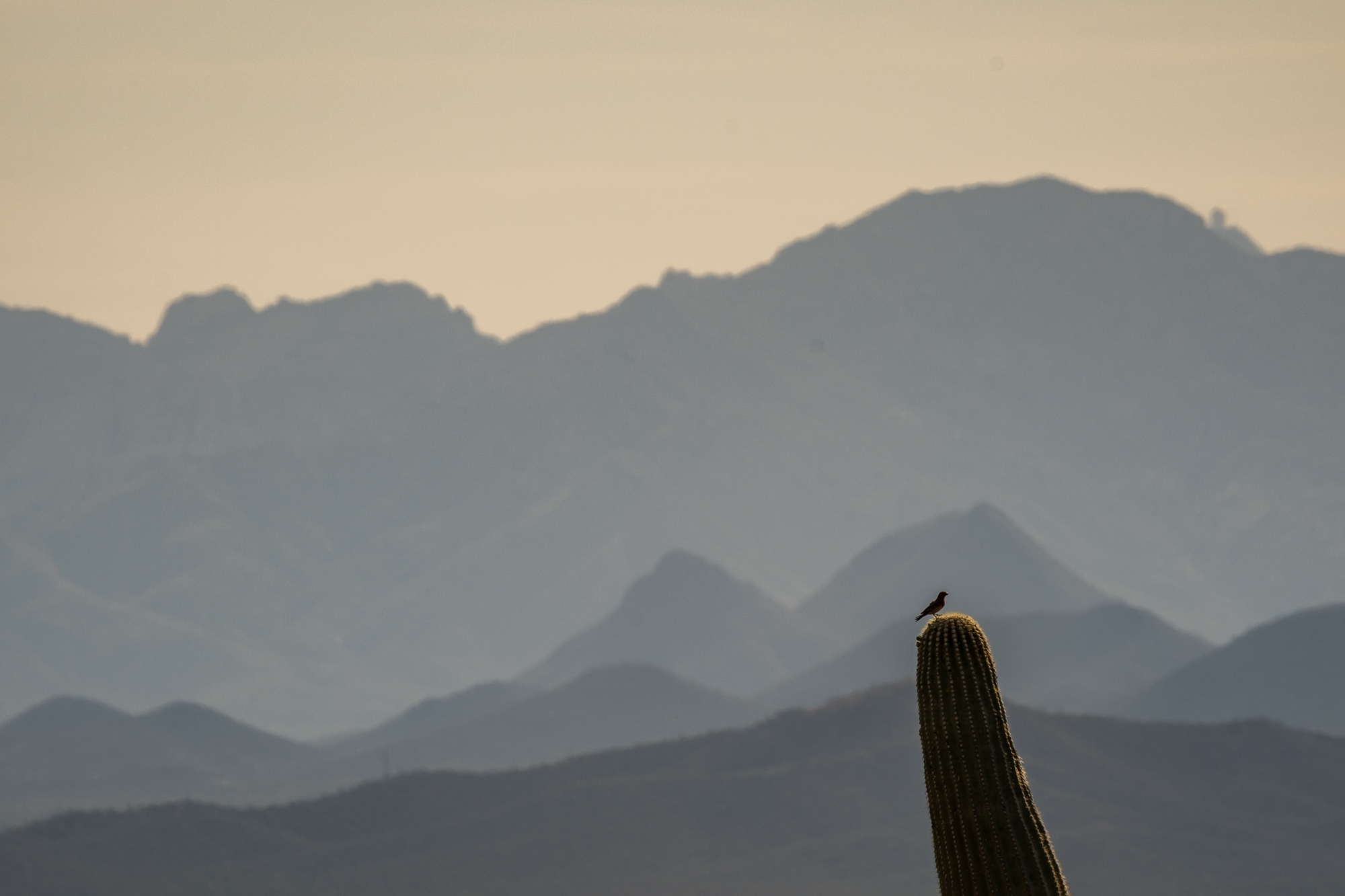 I caught this little birdy hanging out on top of the cactus, one of their favorite places to perch.