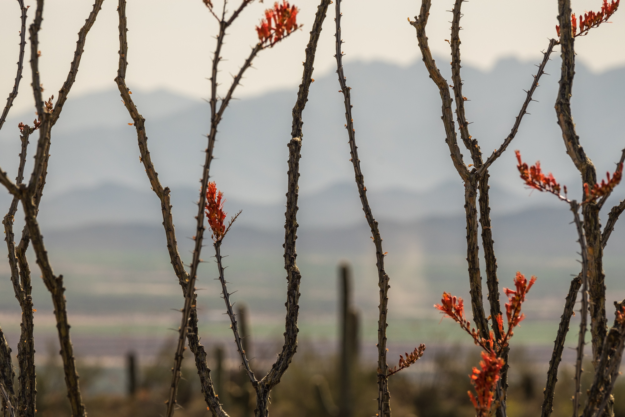 I loved this pretty view of the mountains behind the cactus flowers.