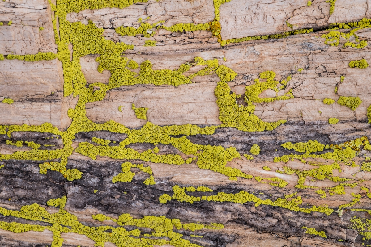 Lichens on petrified wood at Petrified Forest National Park in northern Arizona.