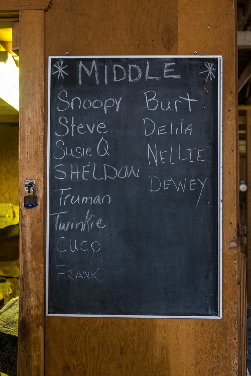 The names of the mules carrying travelers down to the bottom of the Grand Canyon in Arizona.