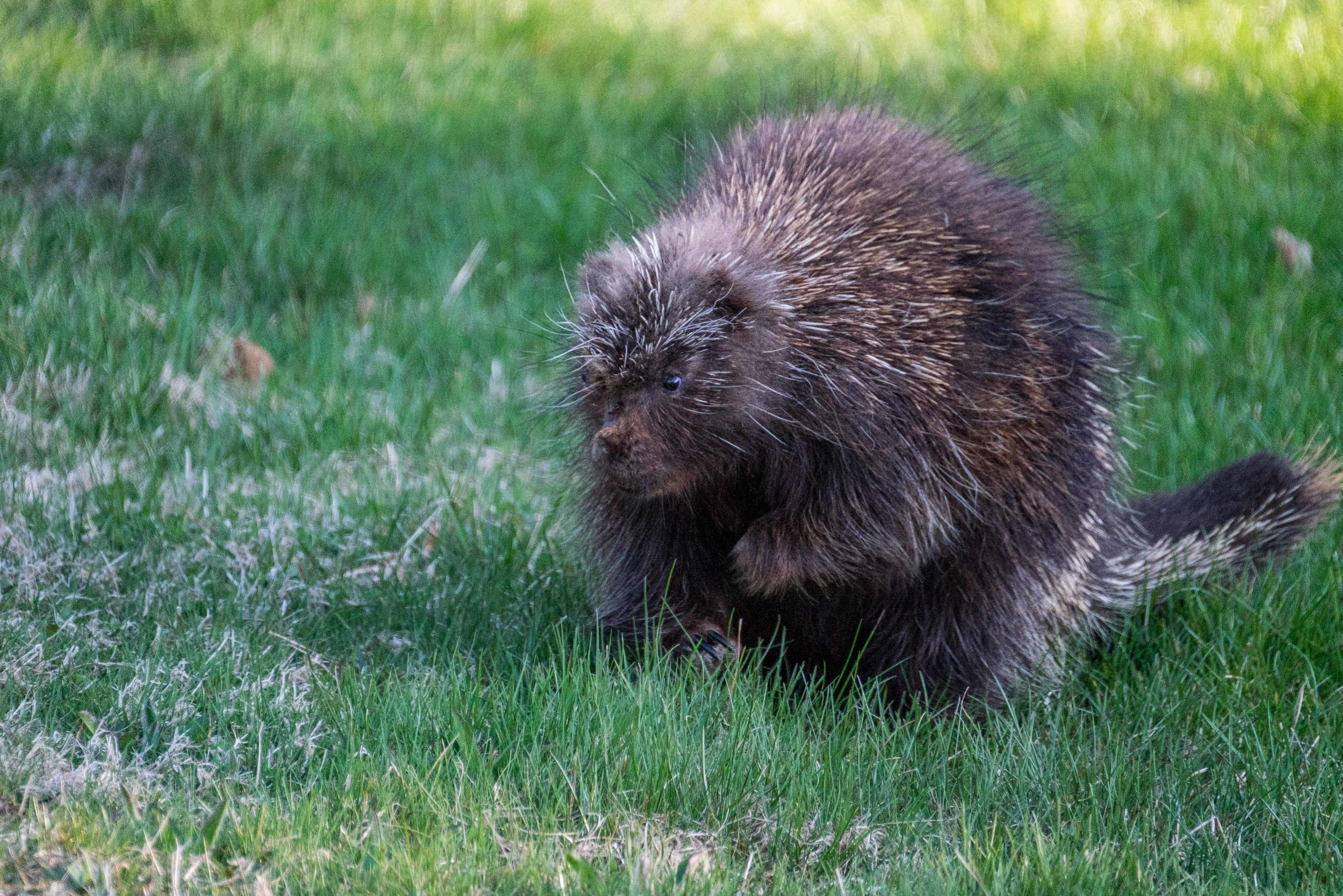 Porcupine in Acadia National Park in Maine.