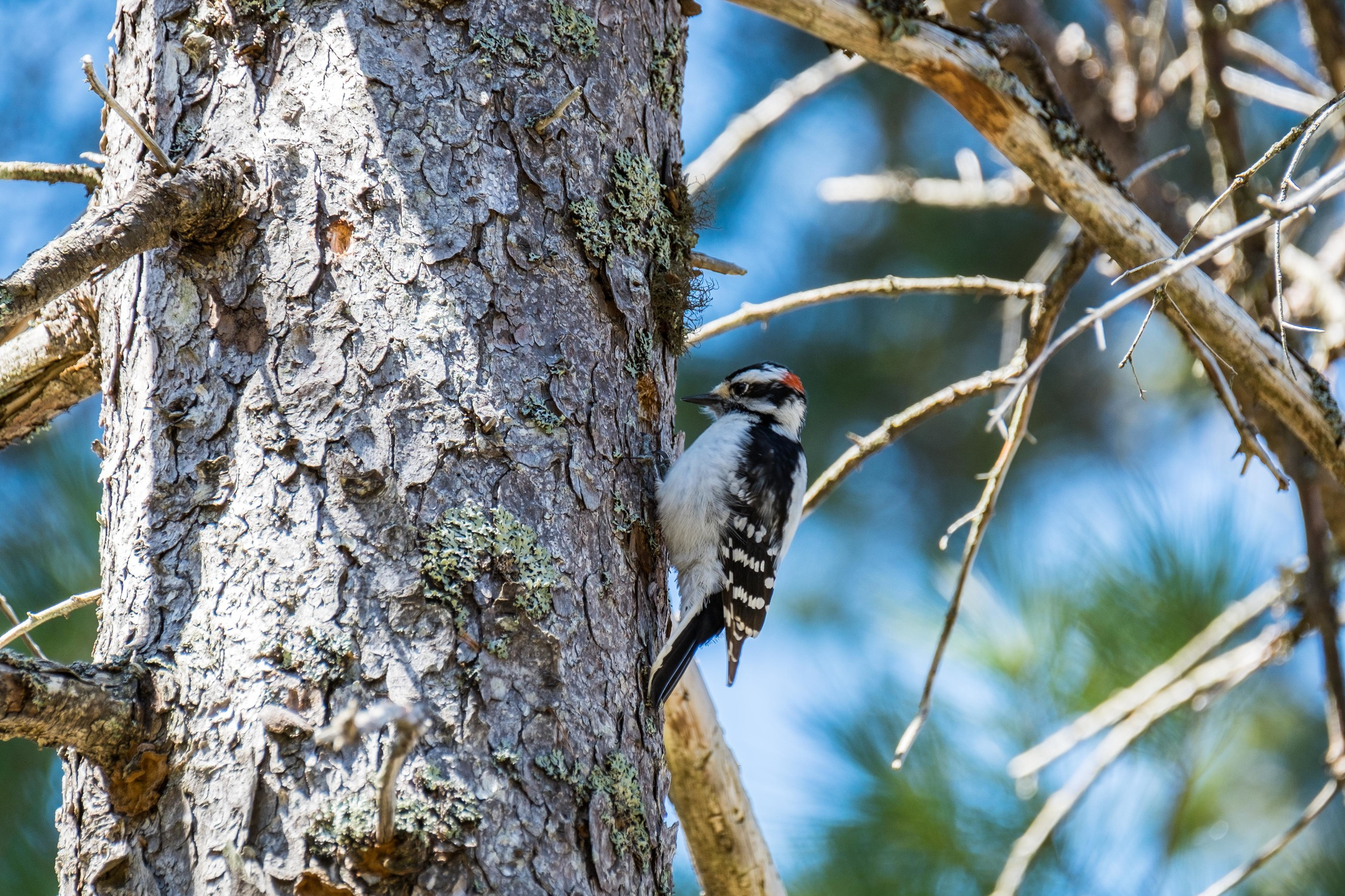 Woodpecker perches in Acadia National Park in Maine.