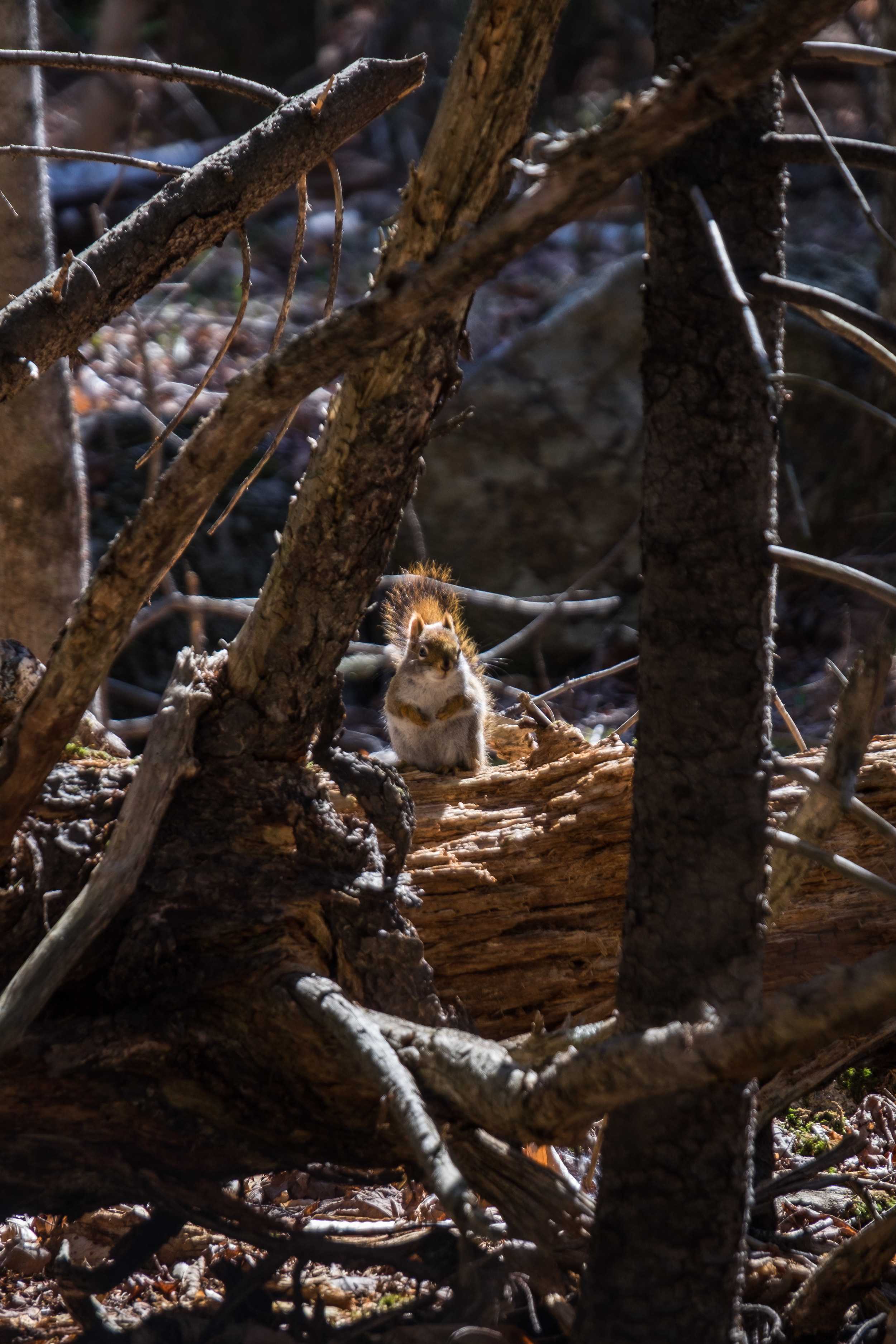 Red squirrel in Acadia National Park in Maine.