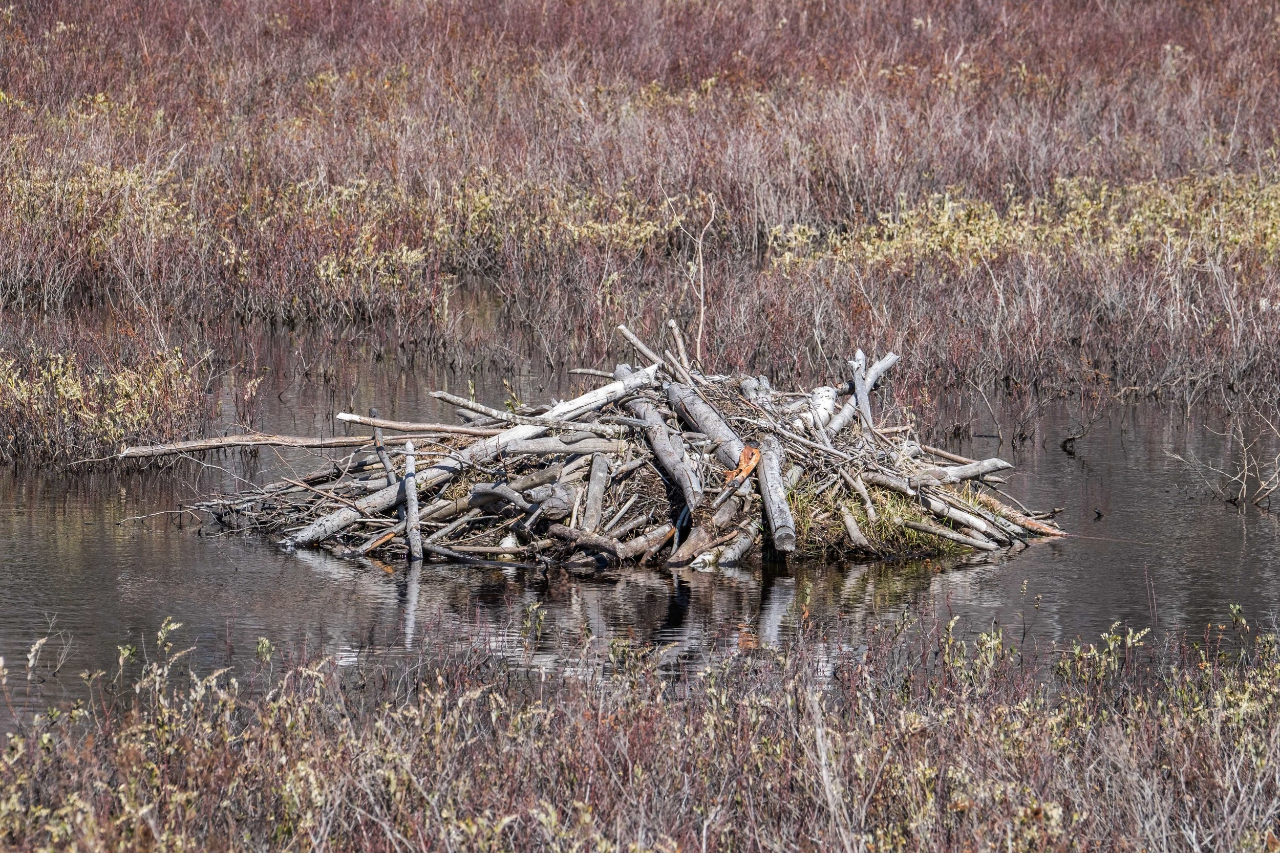 Beaver home in Acadia National Park in Maine.