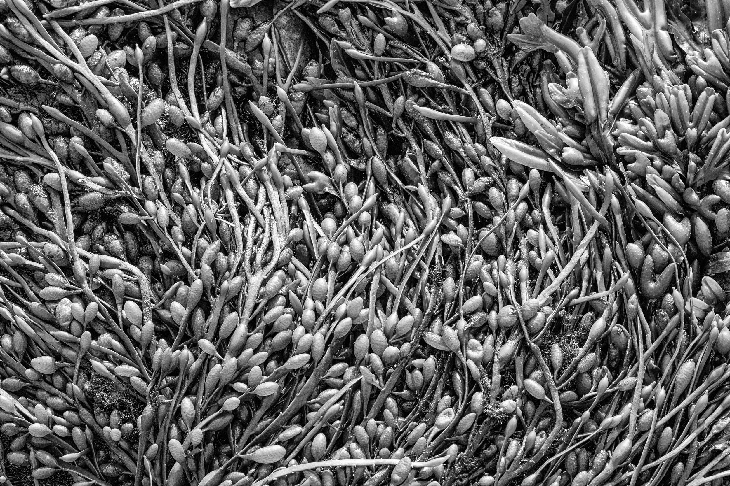 Sea kelp in black and white at Acadia National Park in Maine.