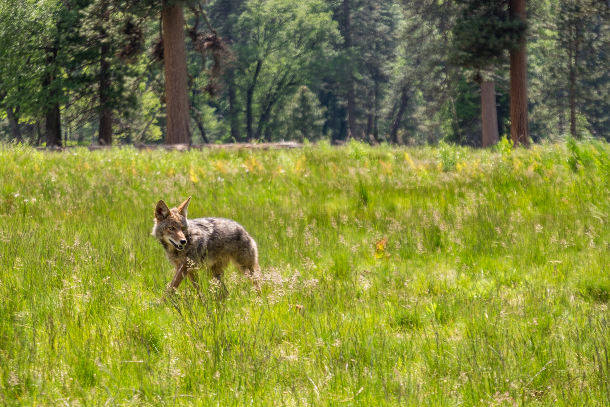 A coyote came out to play one afternoon.