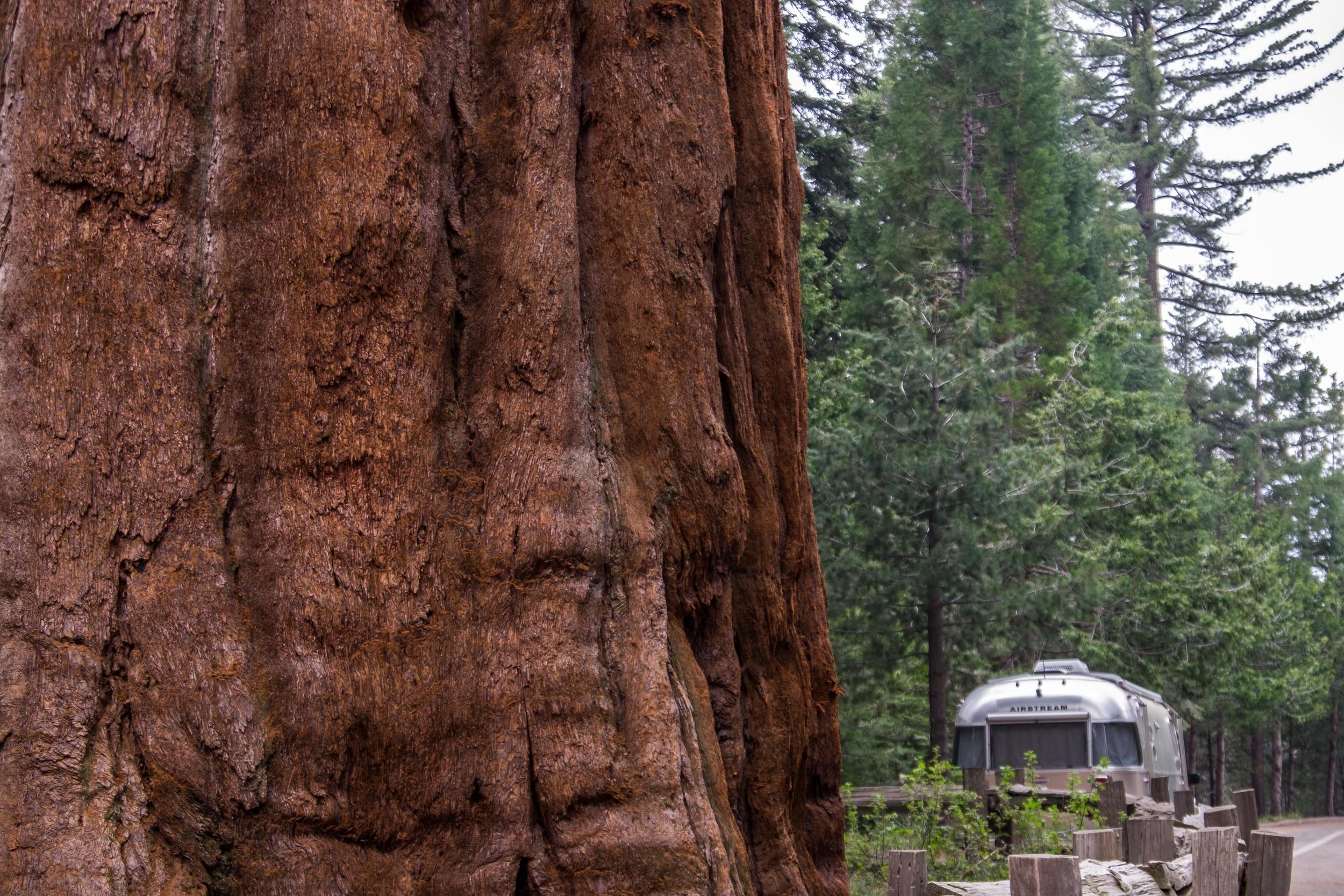 Wally dwarfed beneath the giant Sequoia trees.