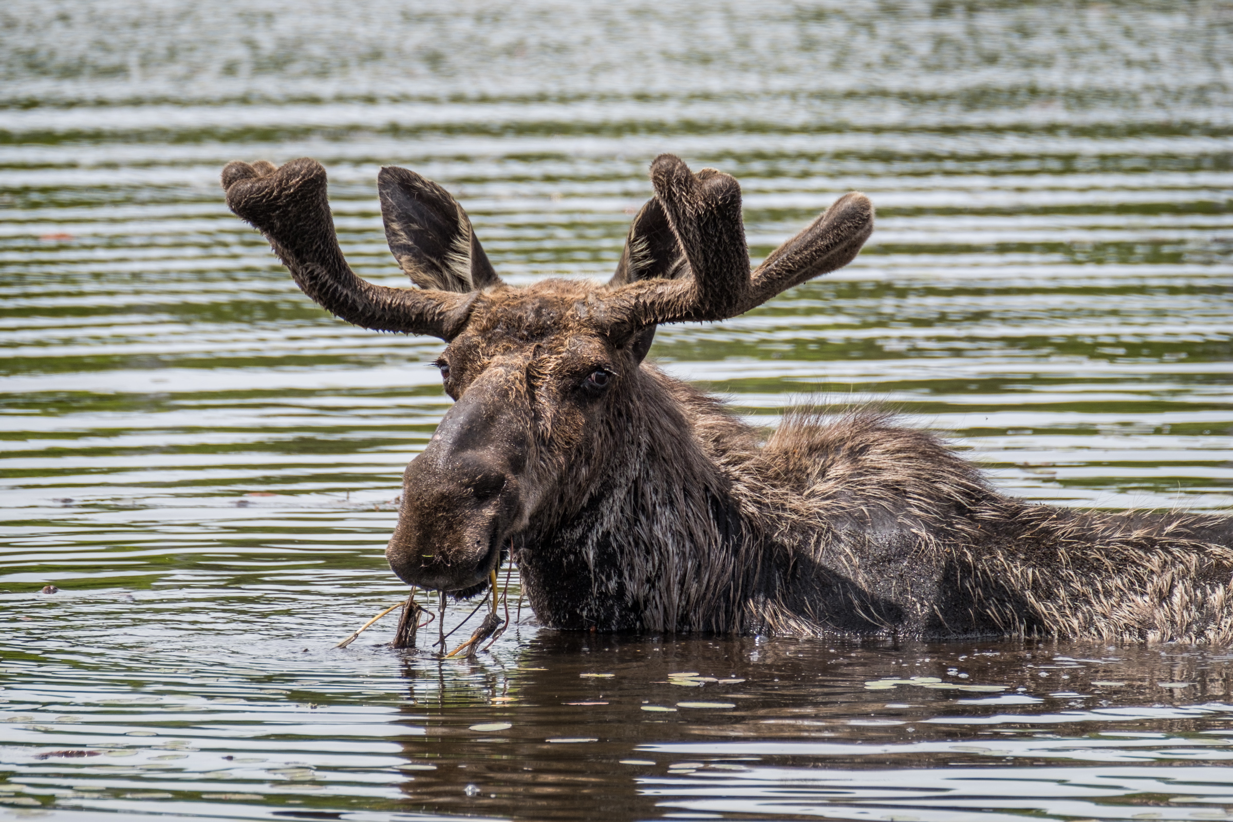 A moose savoring aquatic grasses.