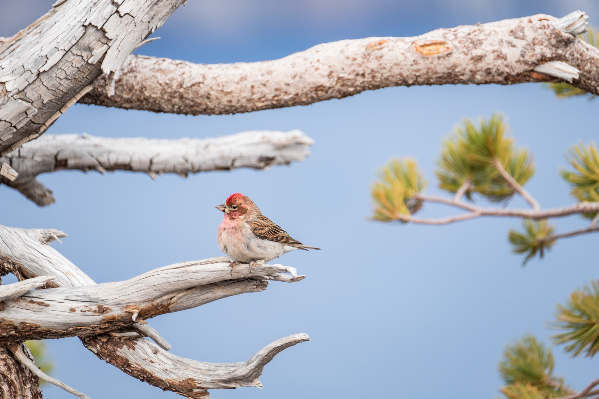 Another pretty bird, this one with a pink head.