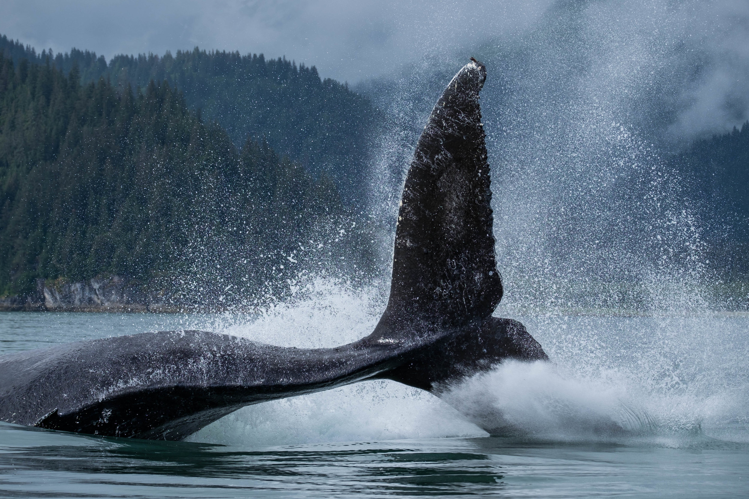 A humpback whale thrashes the waters of Glacier Bay, absolutely captivating every being on the planet within eyesight.