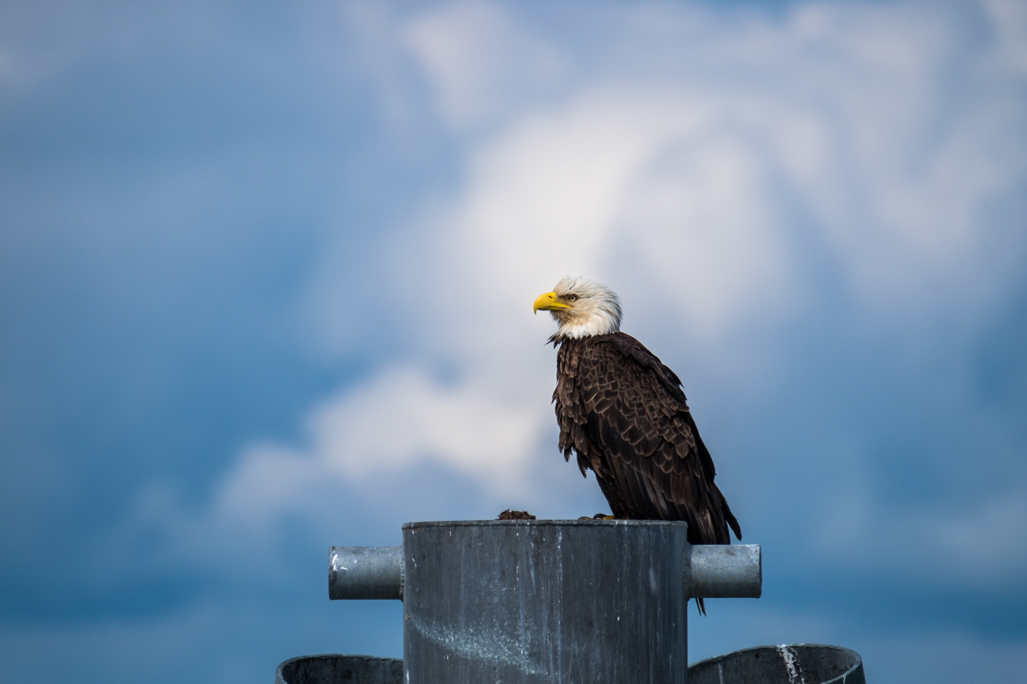 Eagles are everywhere in Glacier Bay. This one was kind enough to hold a pose for quite some time.