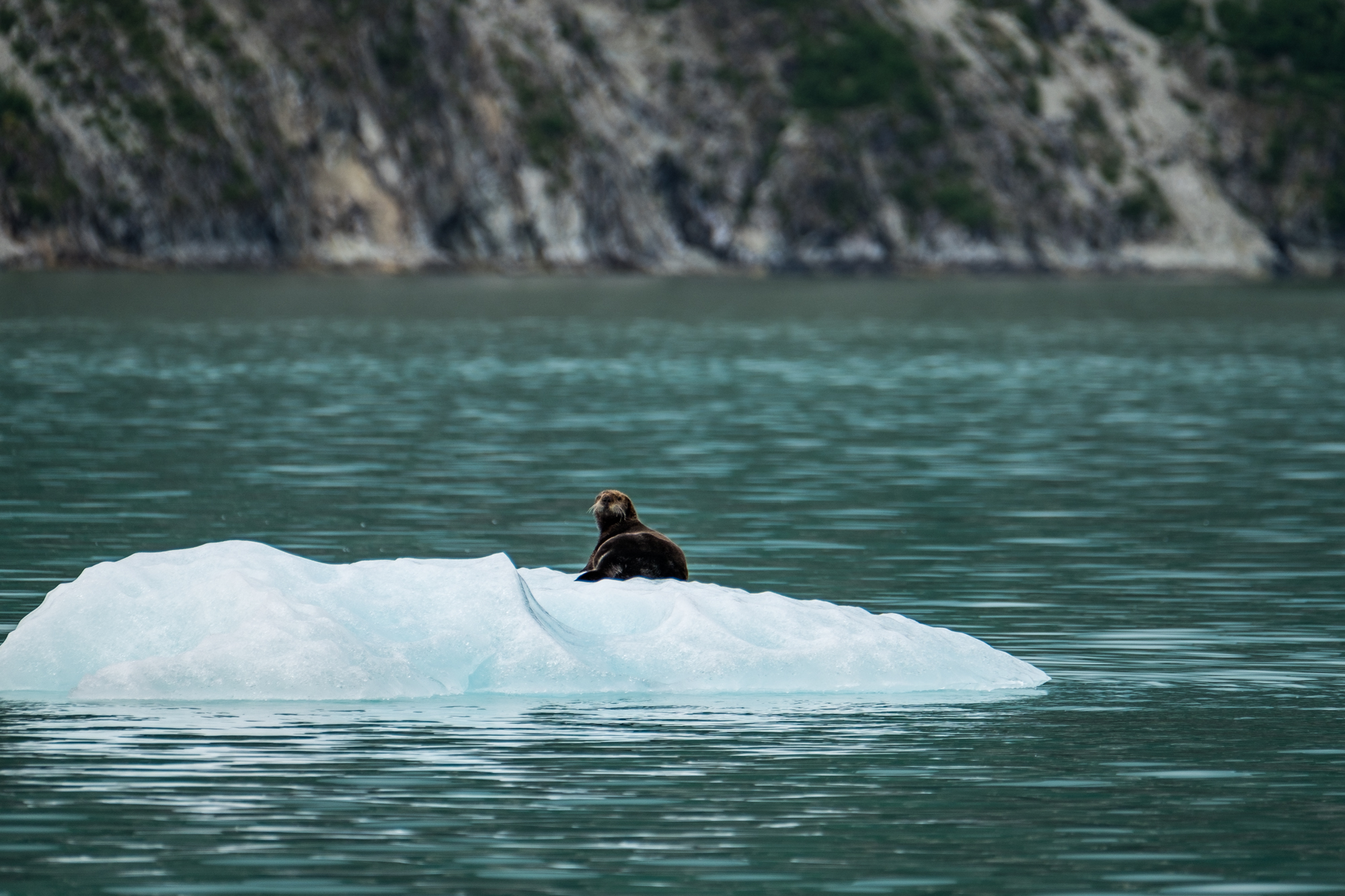It is rare to see a sea otter on an iceberg.