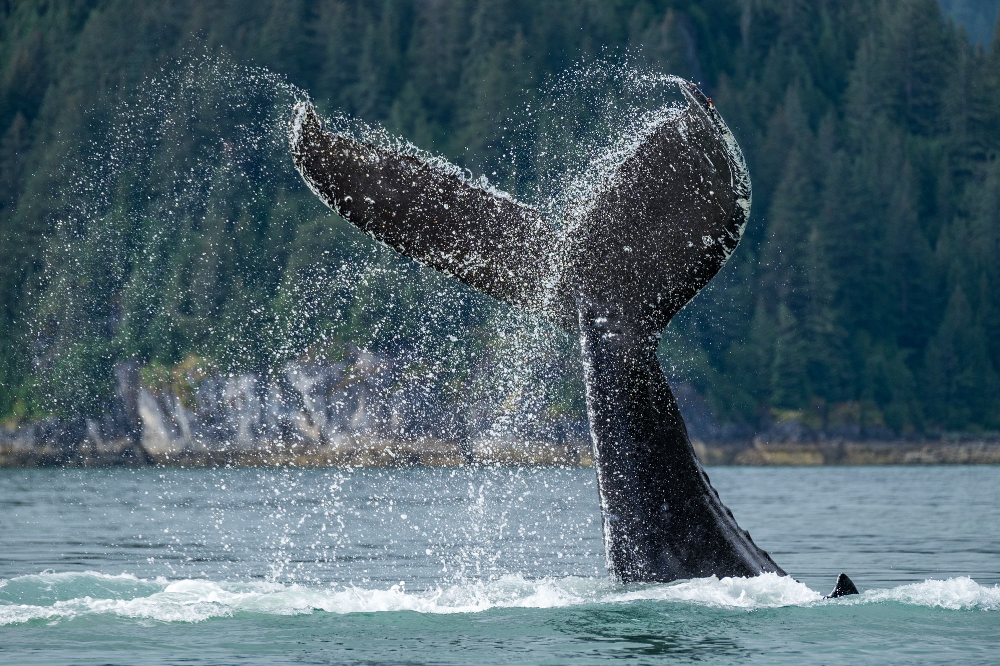 You can't imagine the sound of a giant whale slapping the water with its tale. It is a jaw-dropping experience.