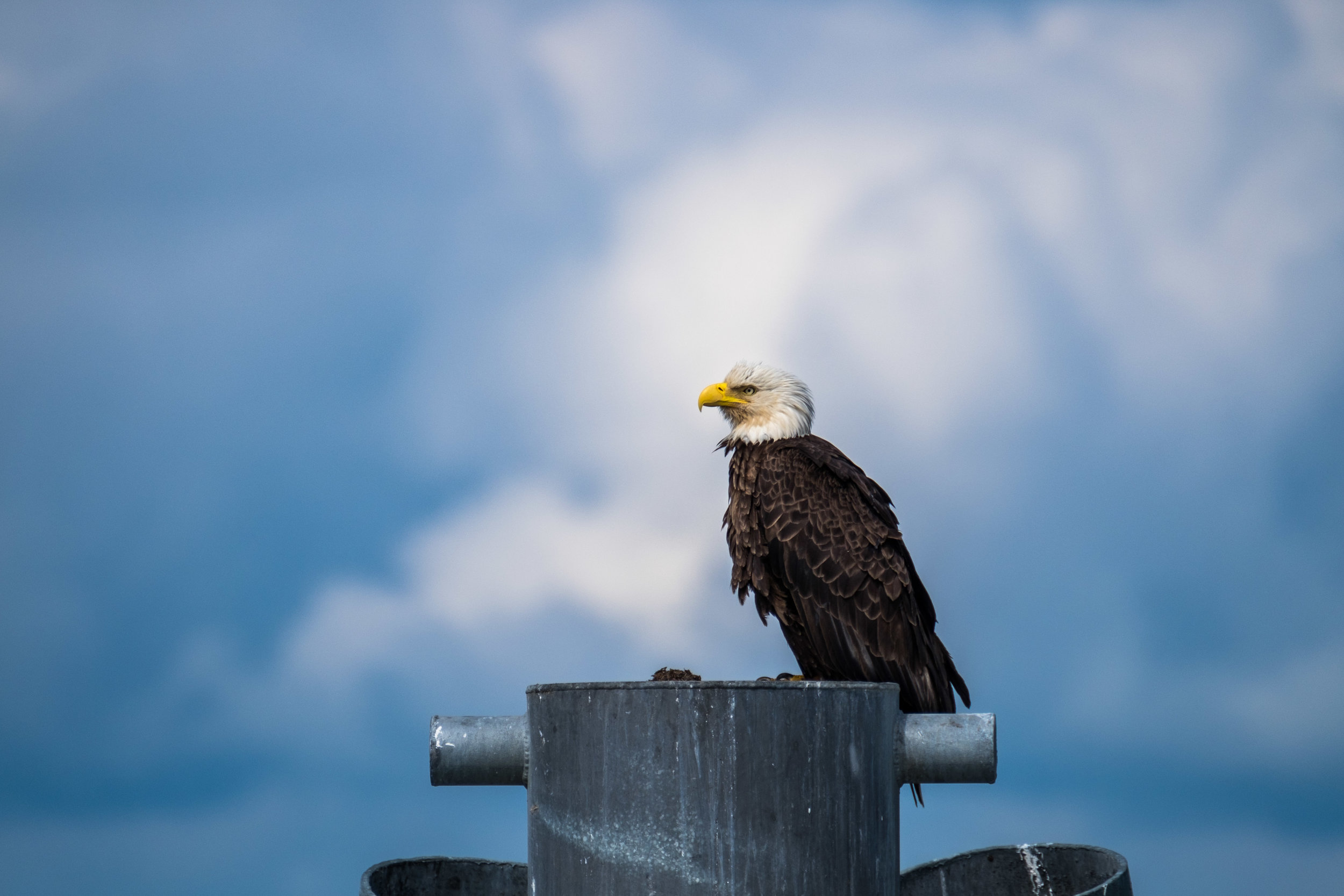 The very symbol of America, the Bald Eagle, in his protected home in Alaska.