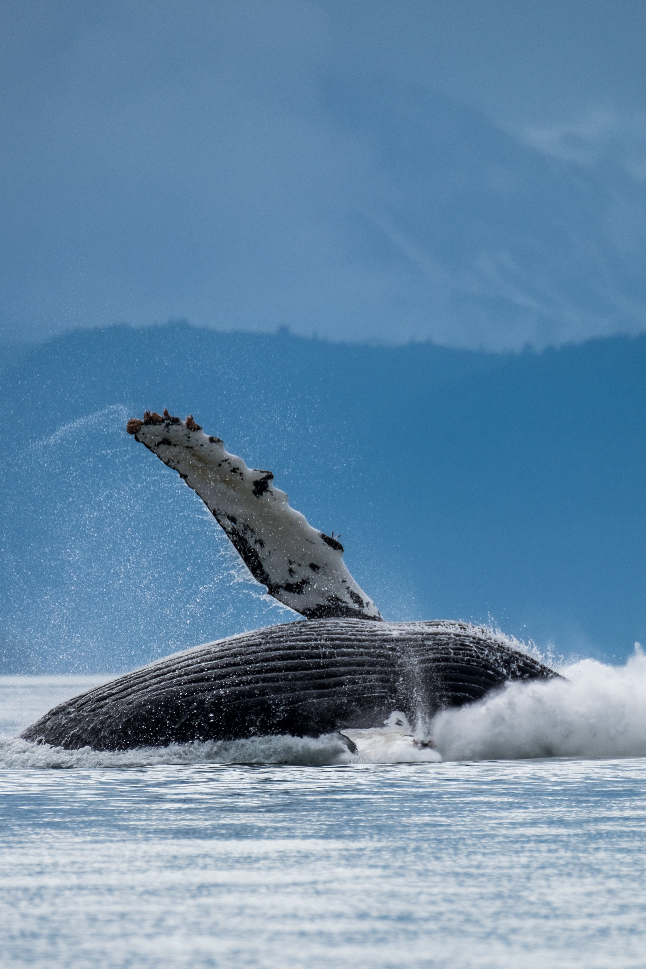 A humpback whale breaches, that is, rises completely from the water, in Glacier Bay Alaska.