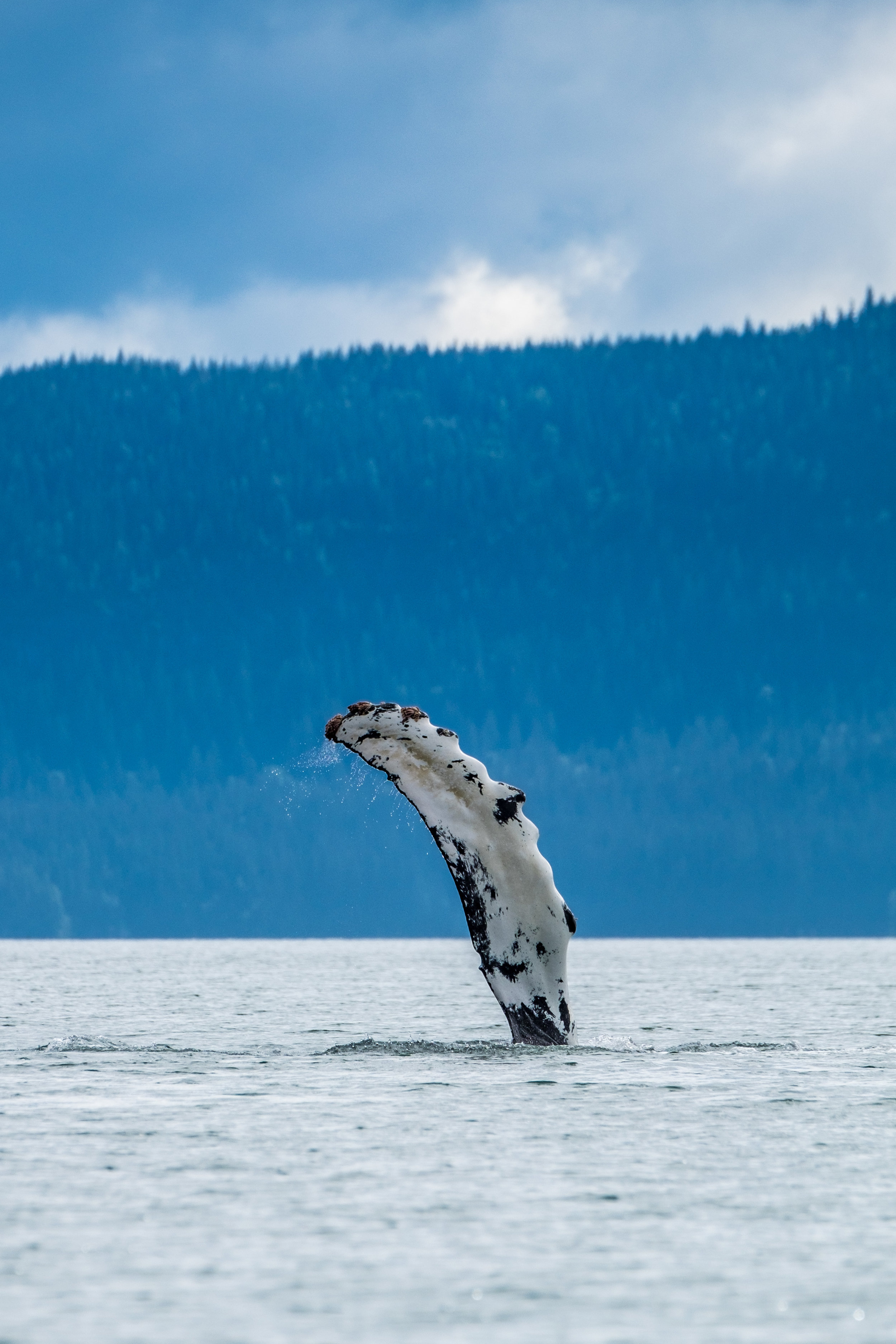 The Humpback whale shows itself elegantly on the water in Glacier Bay, Alaska.
