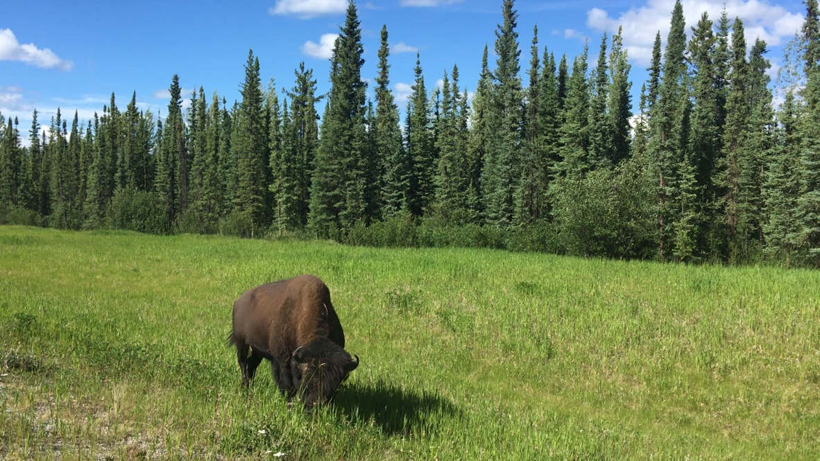 A bison on the side of the road in the Alaska Highway.