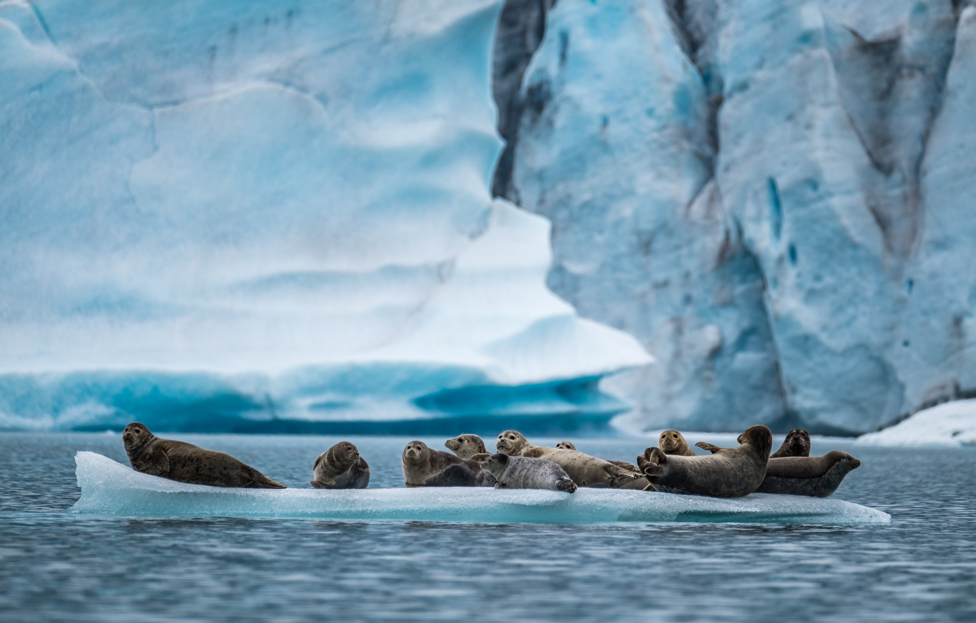 Harbor seals nestle atop a glacier in Bear Glacier during our paddling trip in Kenai Fjords National Park in 2016.