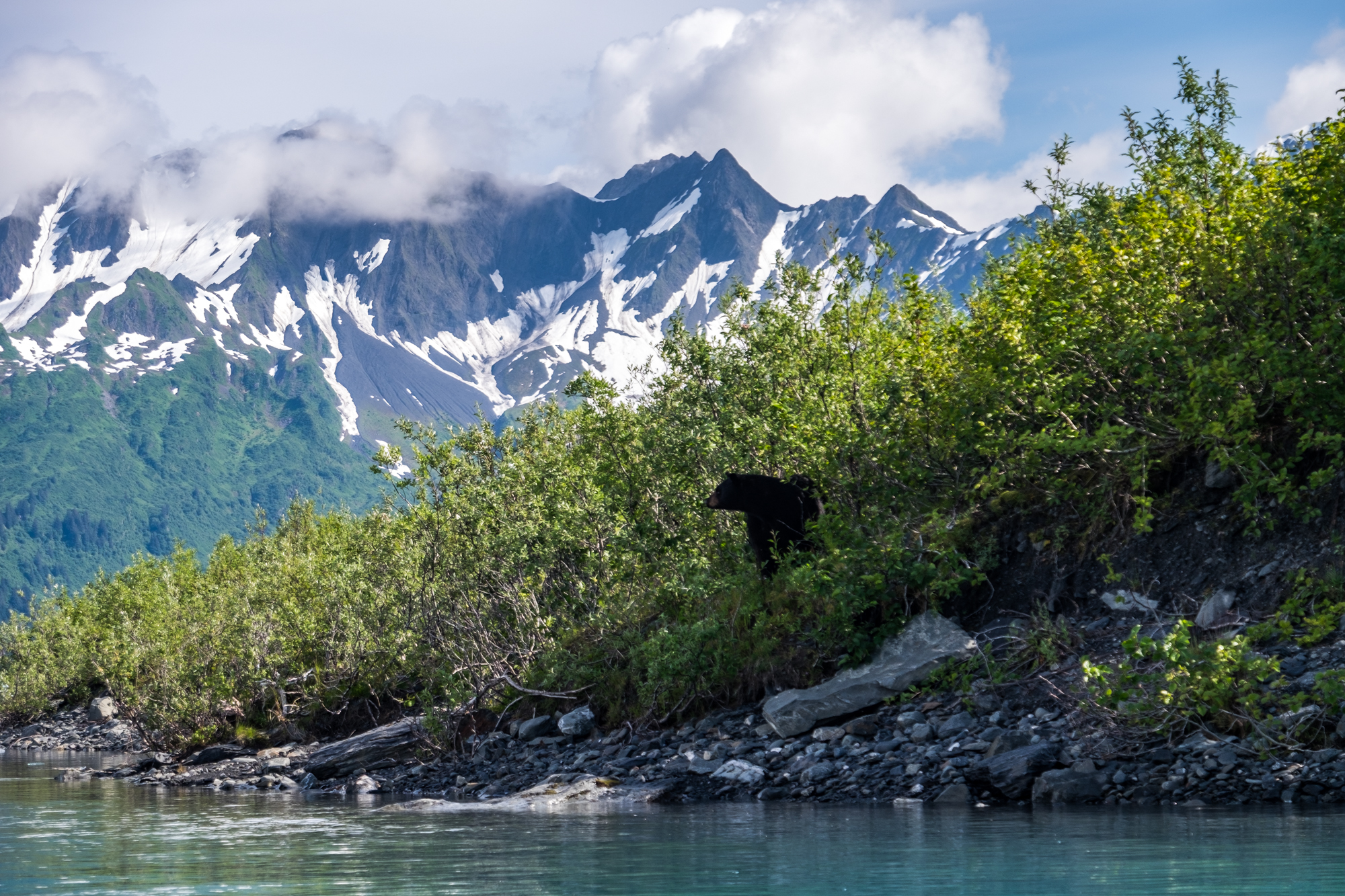 A black bear peeks his head out at Bear Glacier.