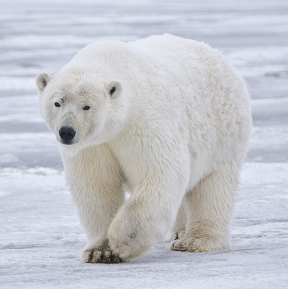 A sow polar bear near Kaktovik, Alaska. Photo credit: Wikipedia.