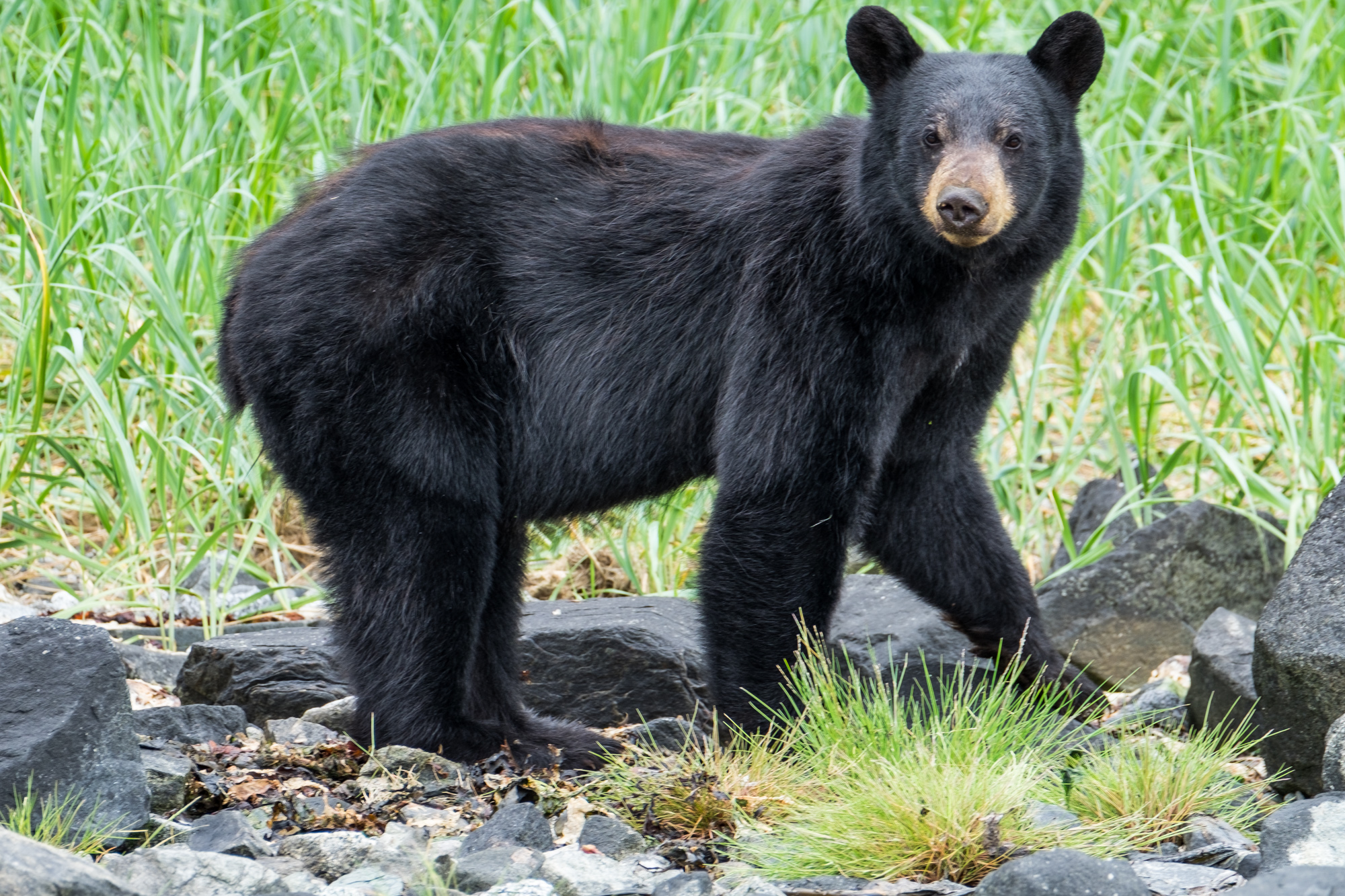 A sow black bear in Glacier Bay National Park in Alaska.