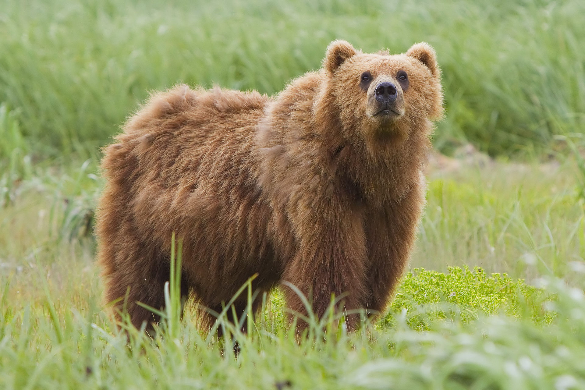 Kodiak bear at Kodiak National Wildlife Refuge on Kodiak Island, Alaska. Photo credit: Wikipedia.