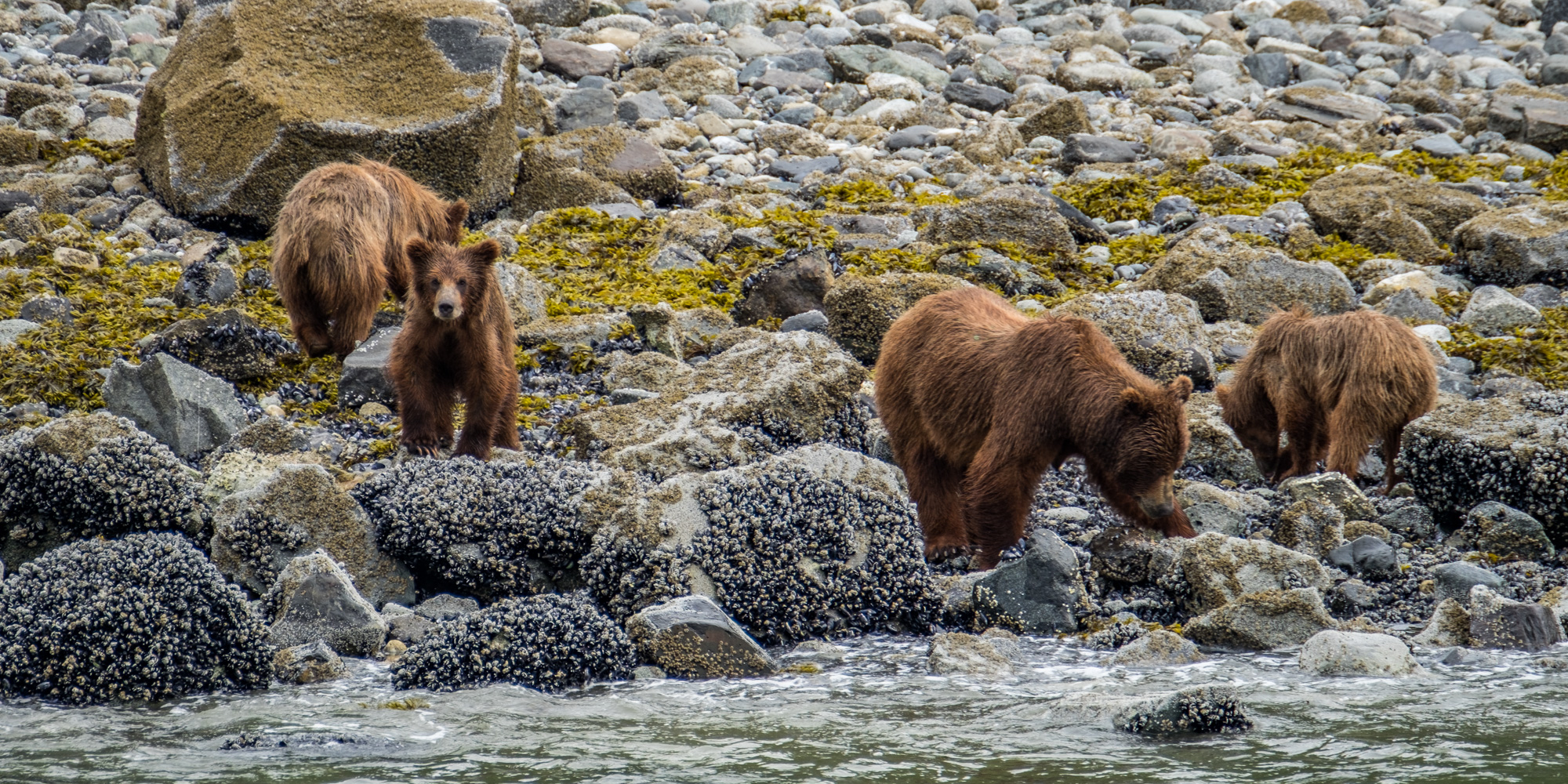 A coastal brown bear sow and her three, 2-year cubs looking for shellfish on the shores of Glacier Bay.