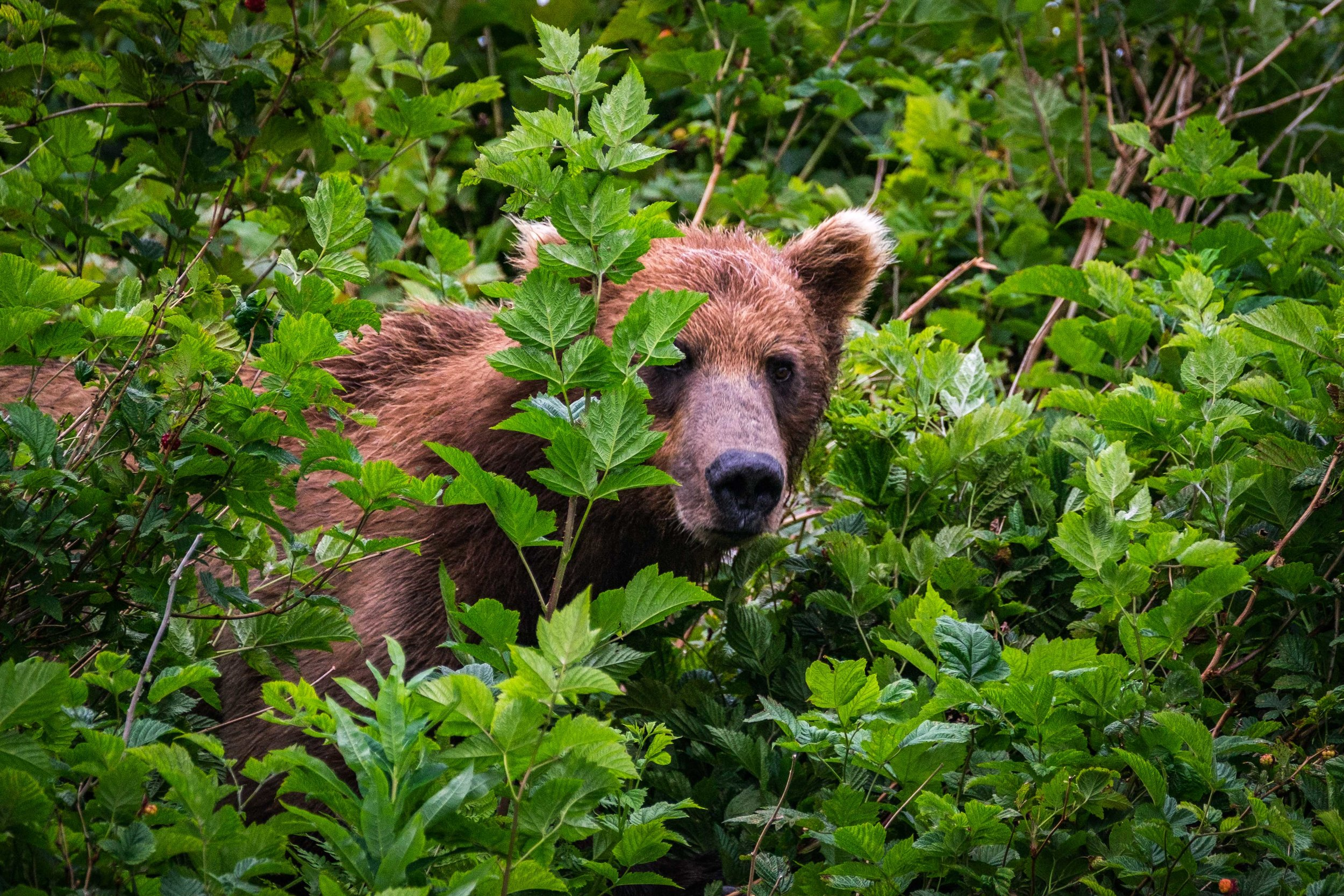 A coastal brown bear sow (mama) navigates dense alder in search of berries to feast on before hibernation.