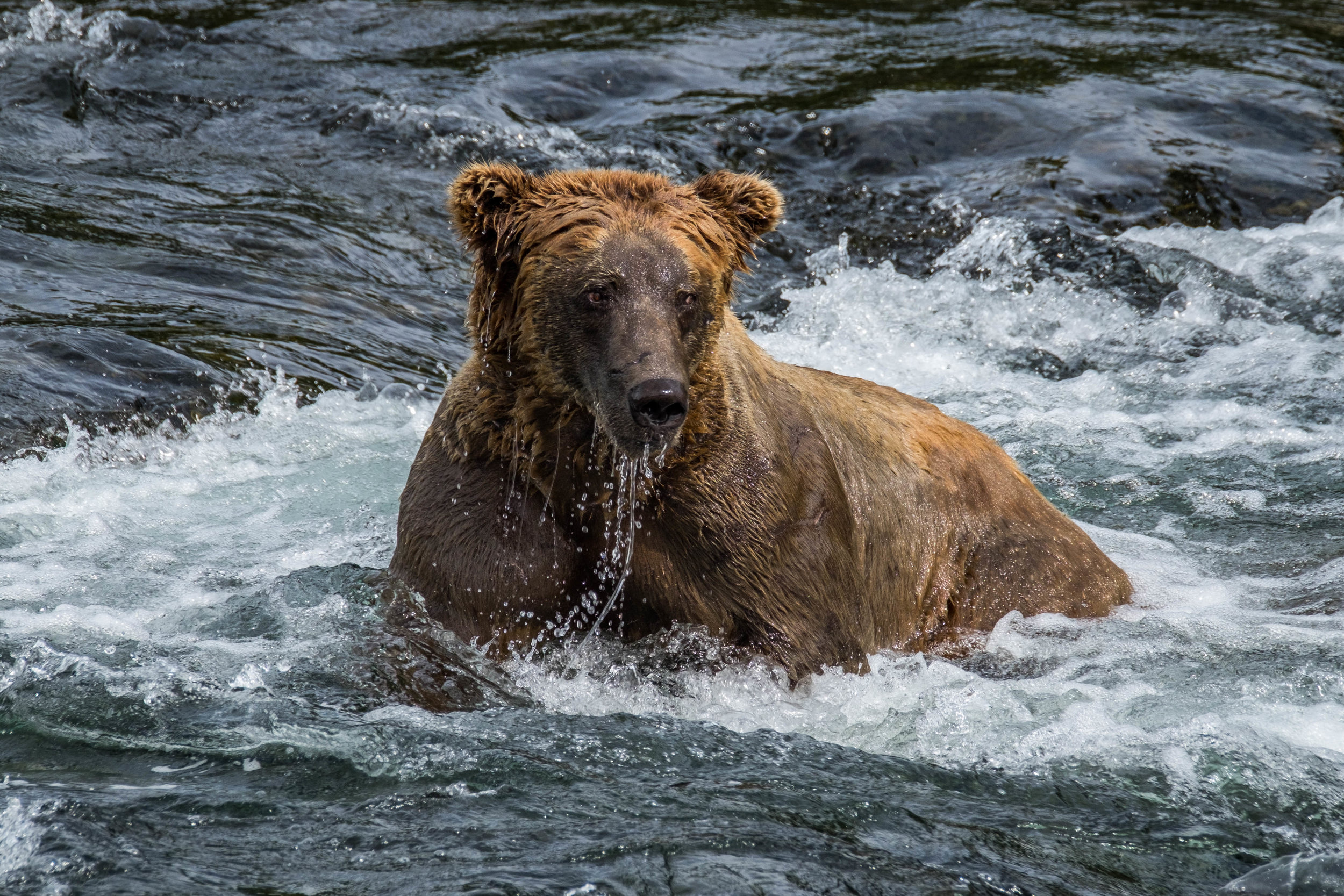 Visions from Brooks Falls, just a short walk on the property from the Brooks Lodge. This is without a doubt the most busy place to stay in Katmai, so save up and book well in advance!