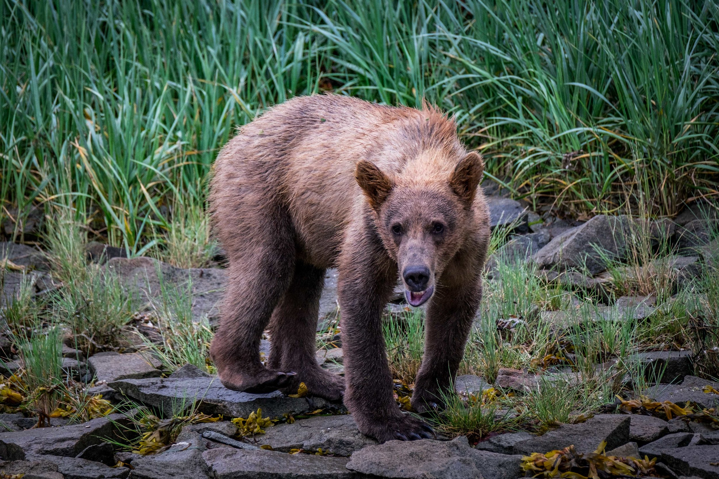 This bear, with its scowl and drool,is displaying stress as our boat nears its environment on the Katmai Peninsula. We quickly moved away!