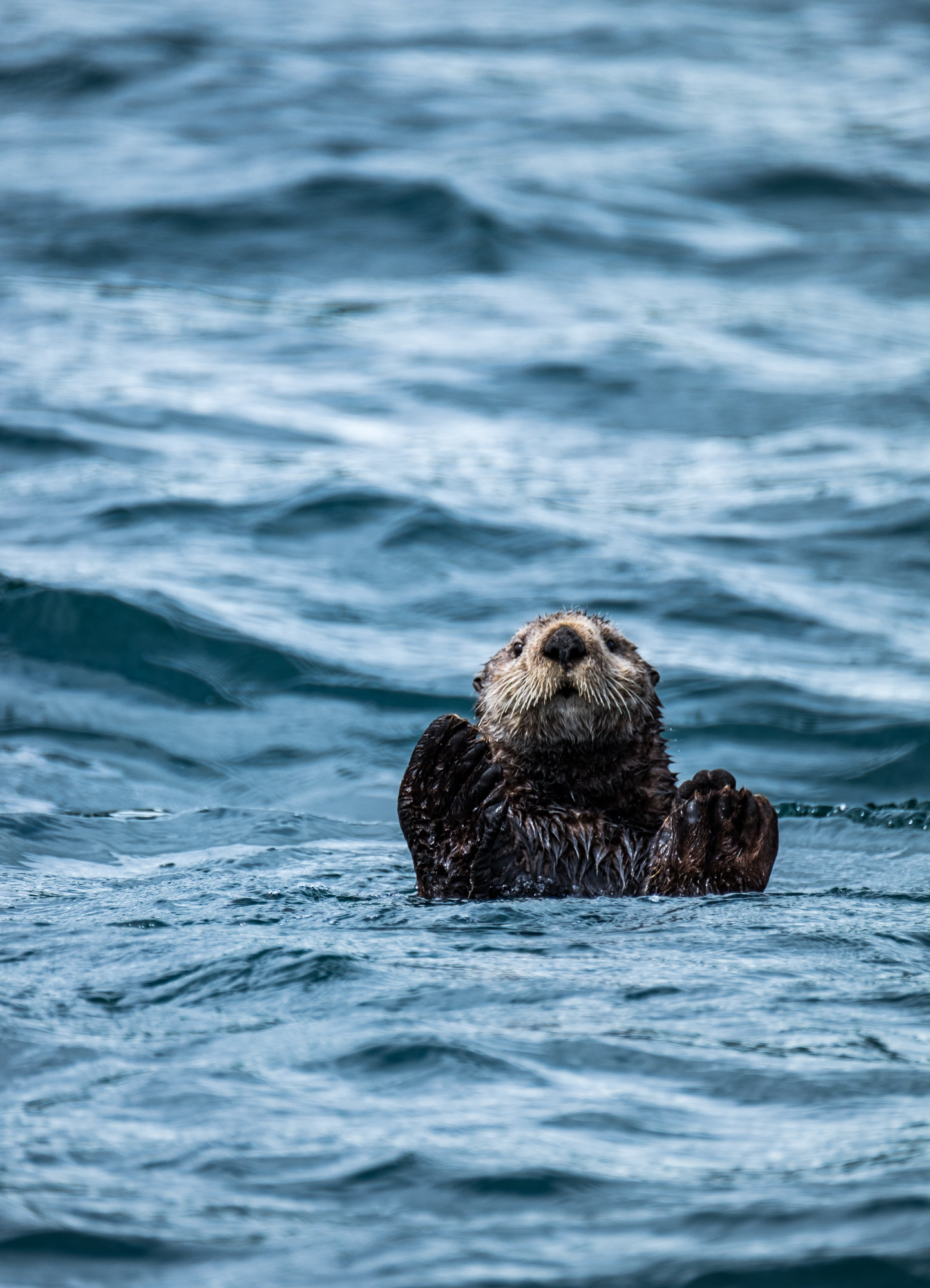We absolutely fell in love with the sea otters here. They are so funny, and fascinating. Check out our otter facts in the Did You Know section of this page.