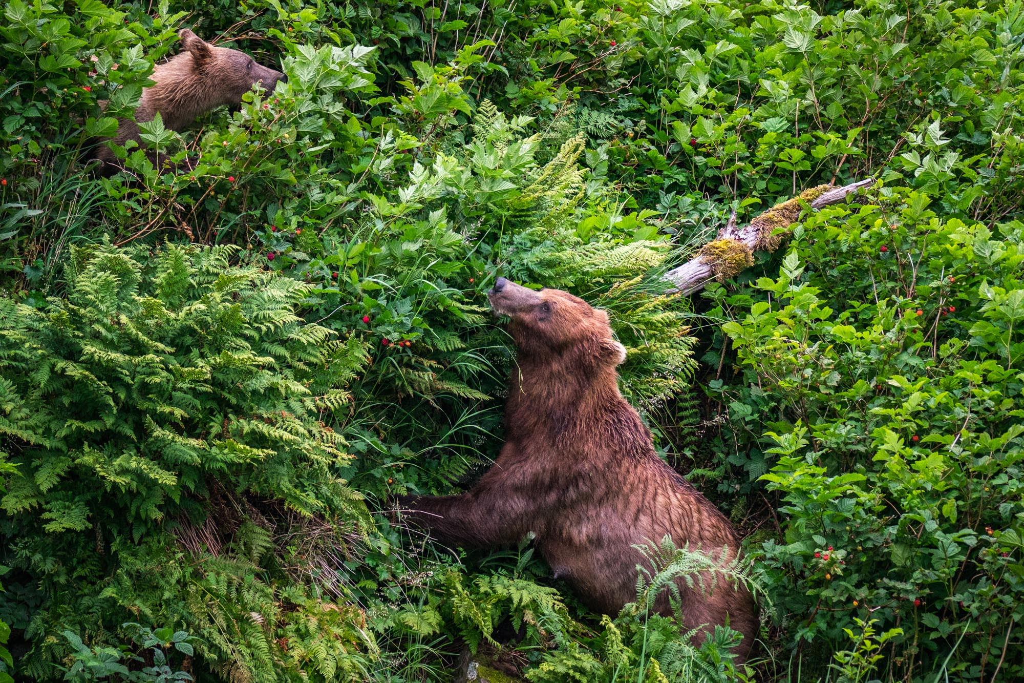 Bears will go almost anywhere in search of food!