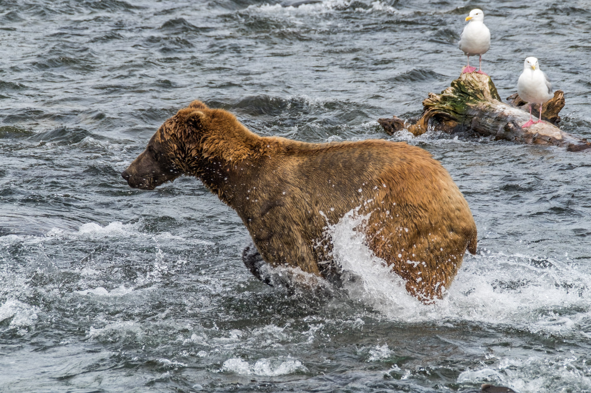 Katmai National Park - 073.jpg