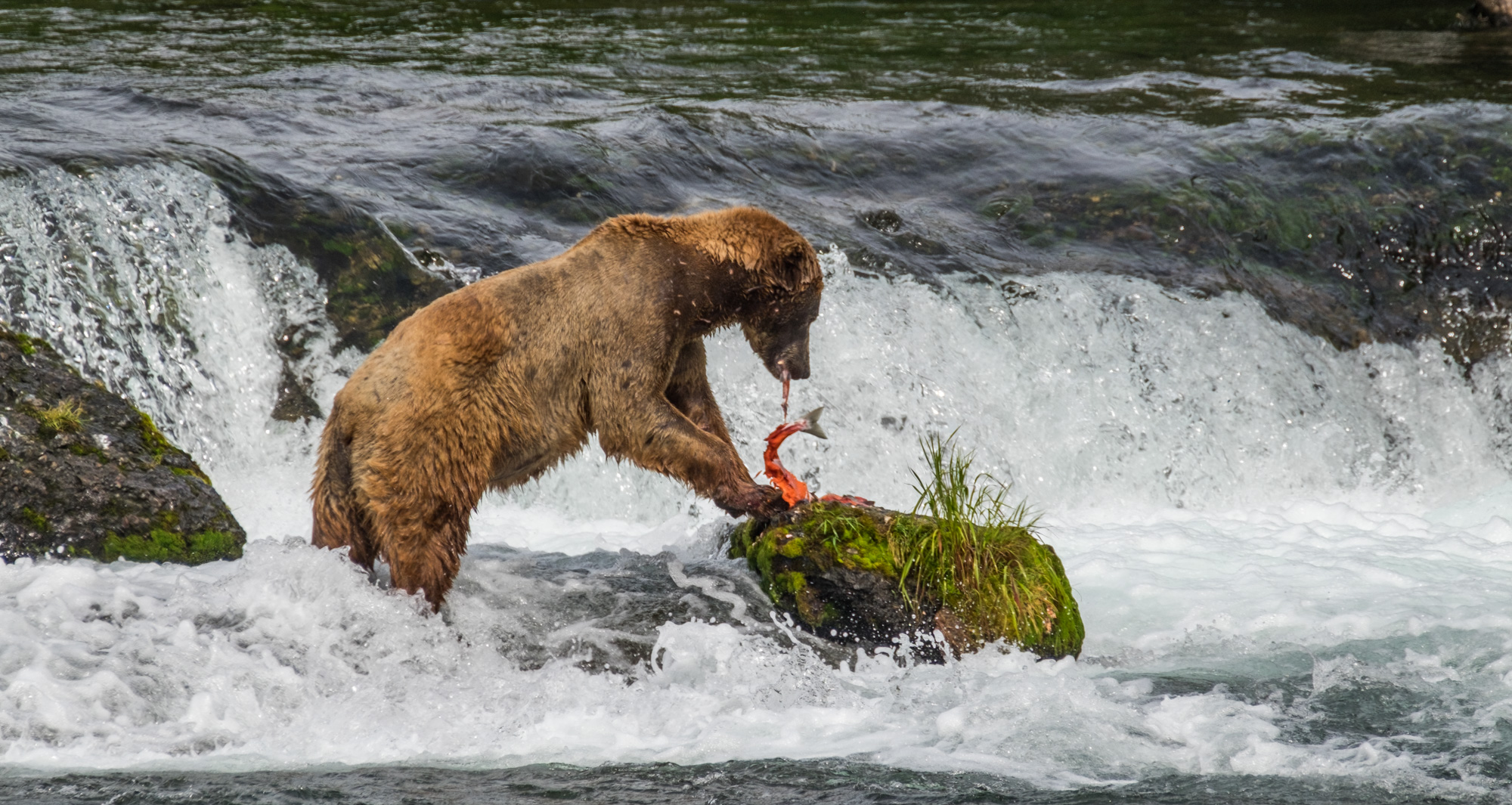 This bear loved to eat salmon on this rock.