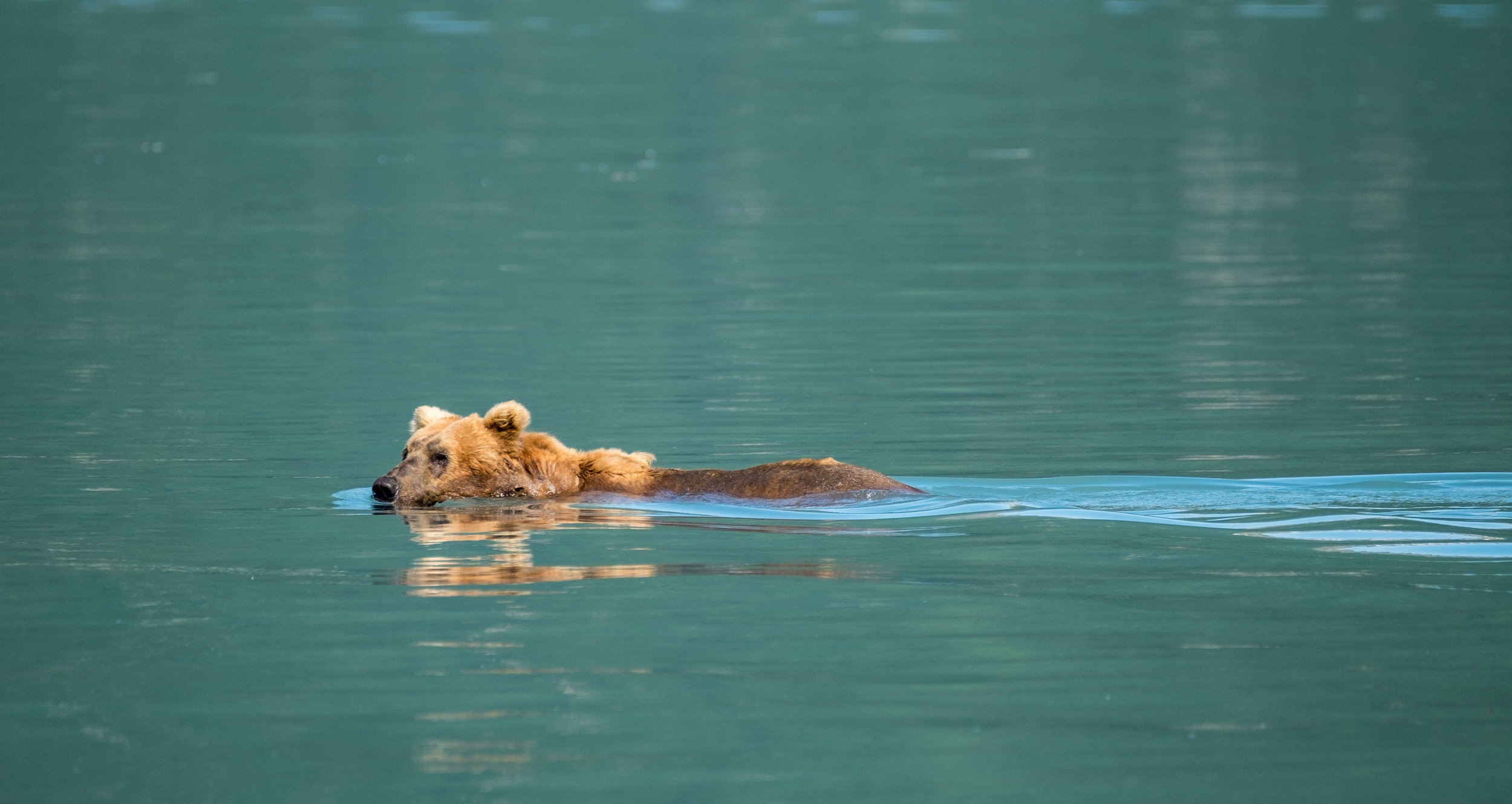 Bears are actually very good swimmers but they tend to avoid it unless making a water crossing, like this coastal brown bear is doing at Katmai.