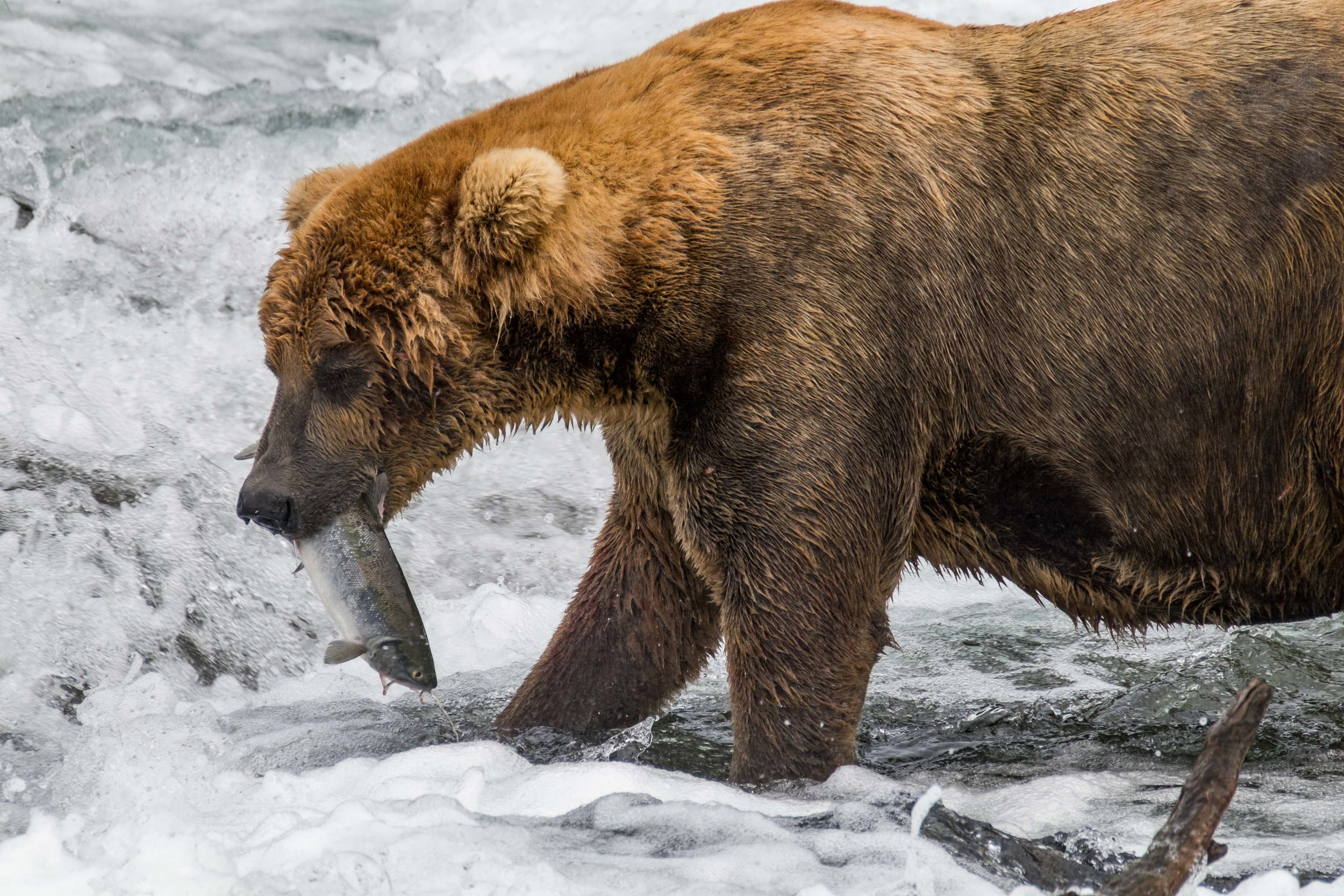 A coastal brown bear boar with a freshly caught salmon at Brooks Falls.