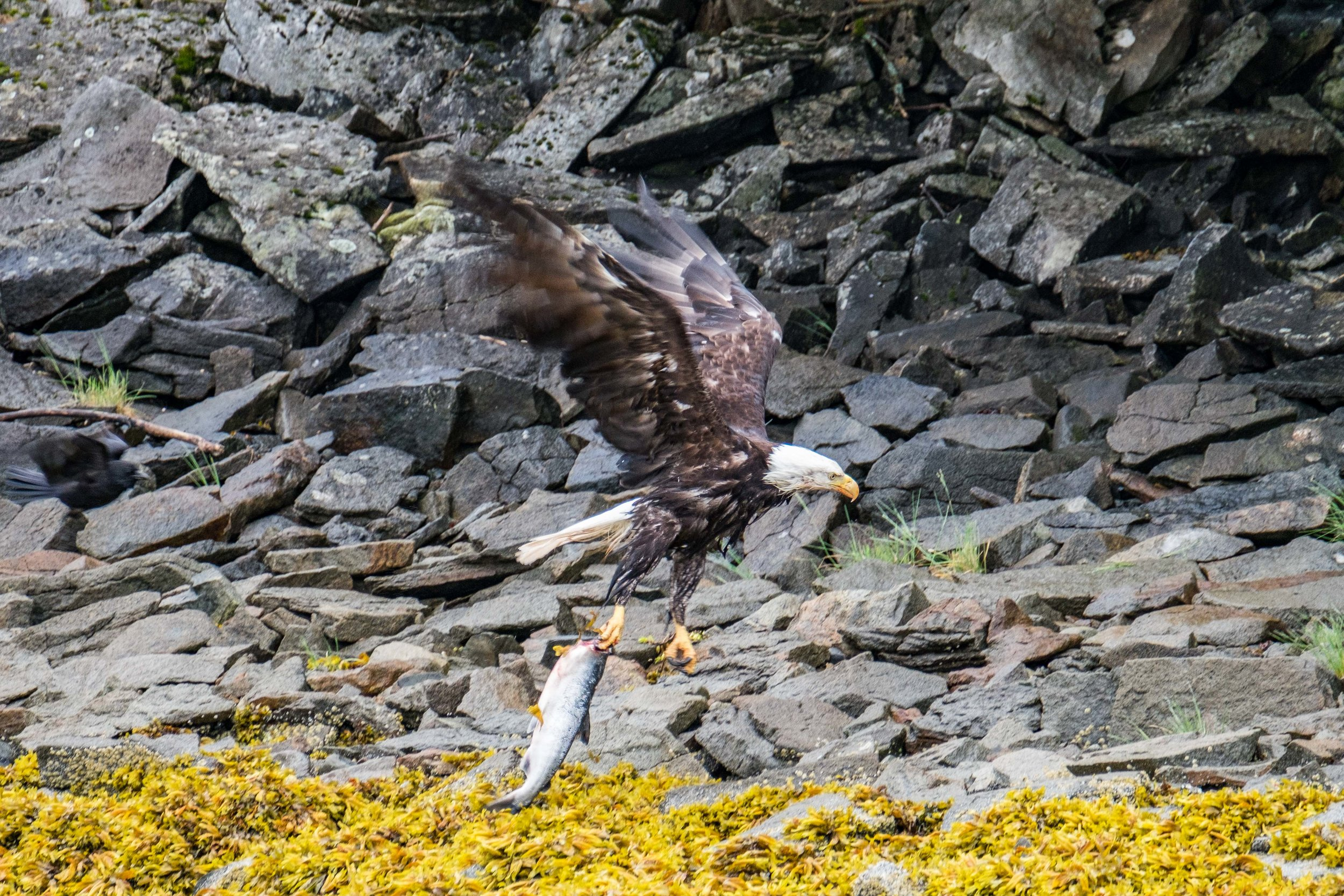 An eagle flies through the Shelikof Straight with a salmon in its talons.
