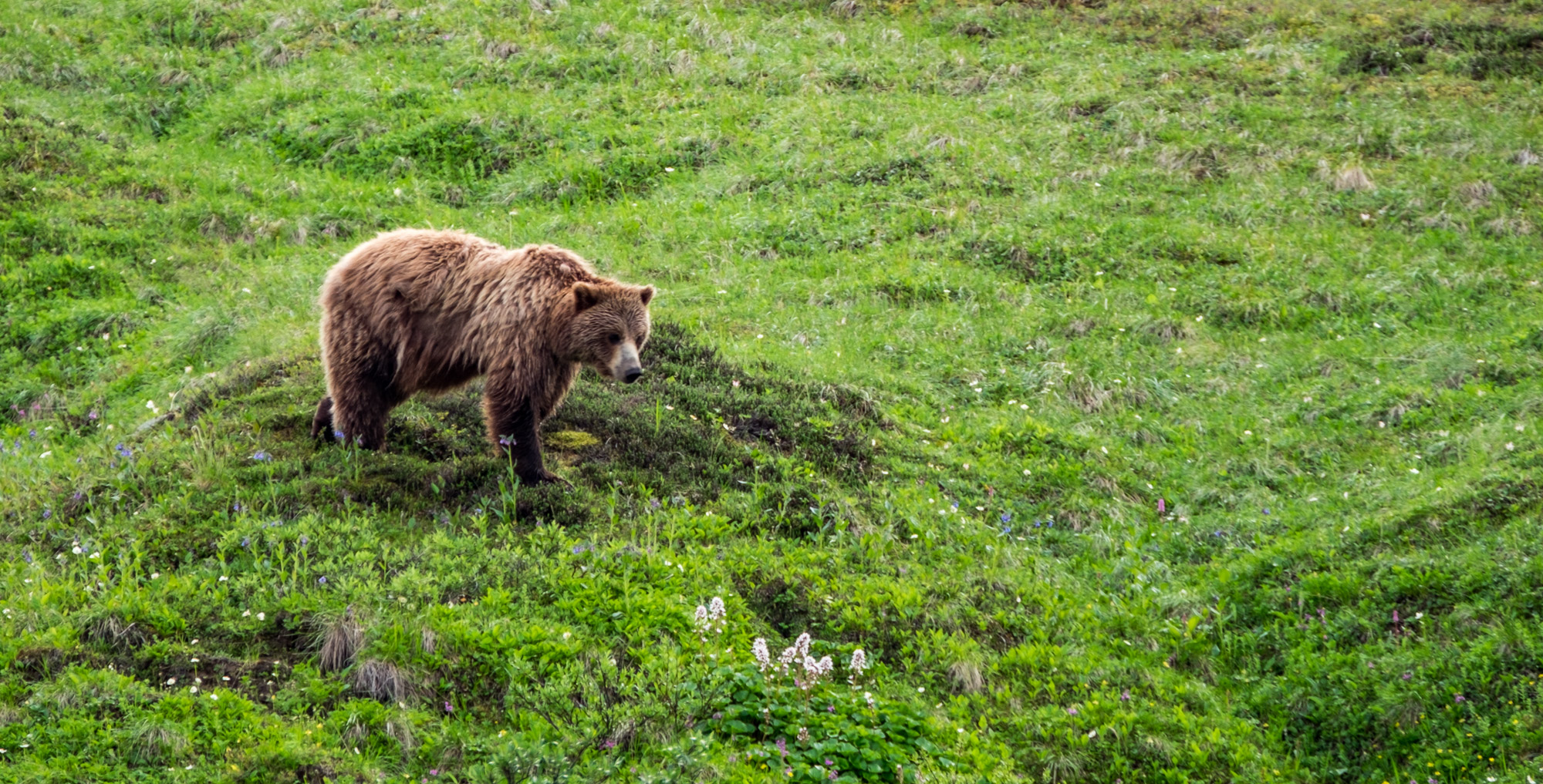 The inland grizzlies are quite different than the coastal grizzlies we'd seen at Katmai.