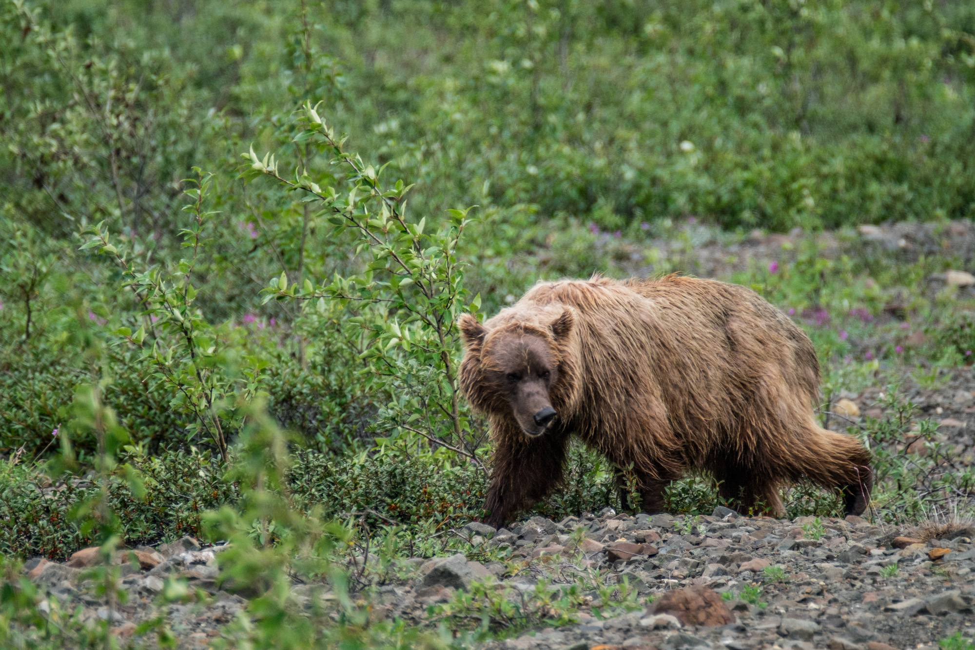 The Denali grizzlies tend to have thicker fur which is much lighter in shade than the coastal bears.