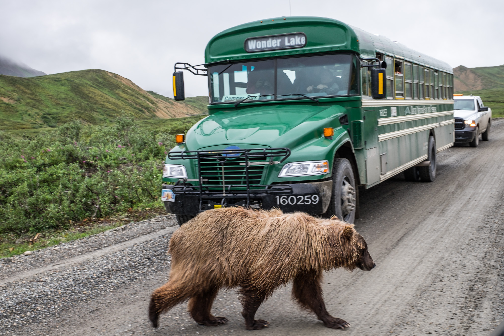Grizzly crossing!