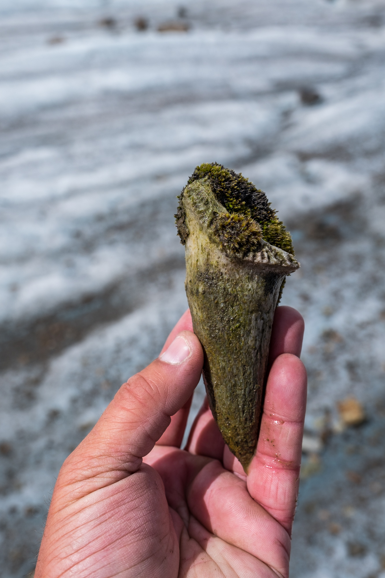 We don't know what this was, but we found it in the ice. Perhaps a billy goat horn? Or a dino tooth? If anyone knows, please do shoot us an email.