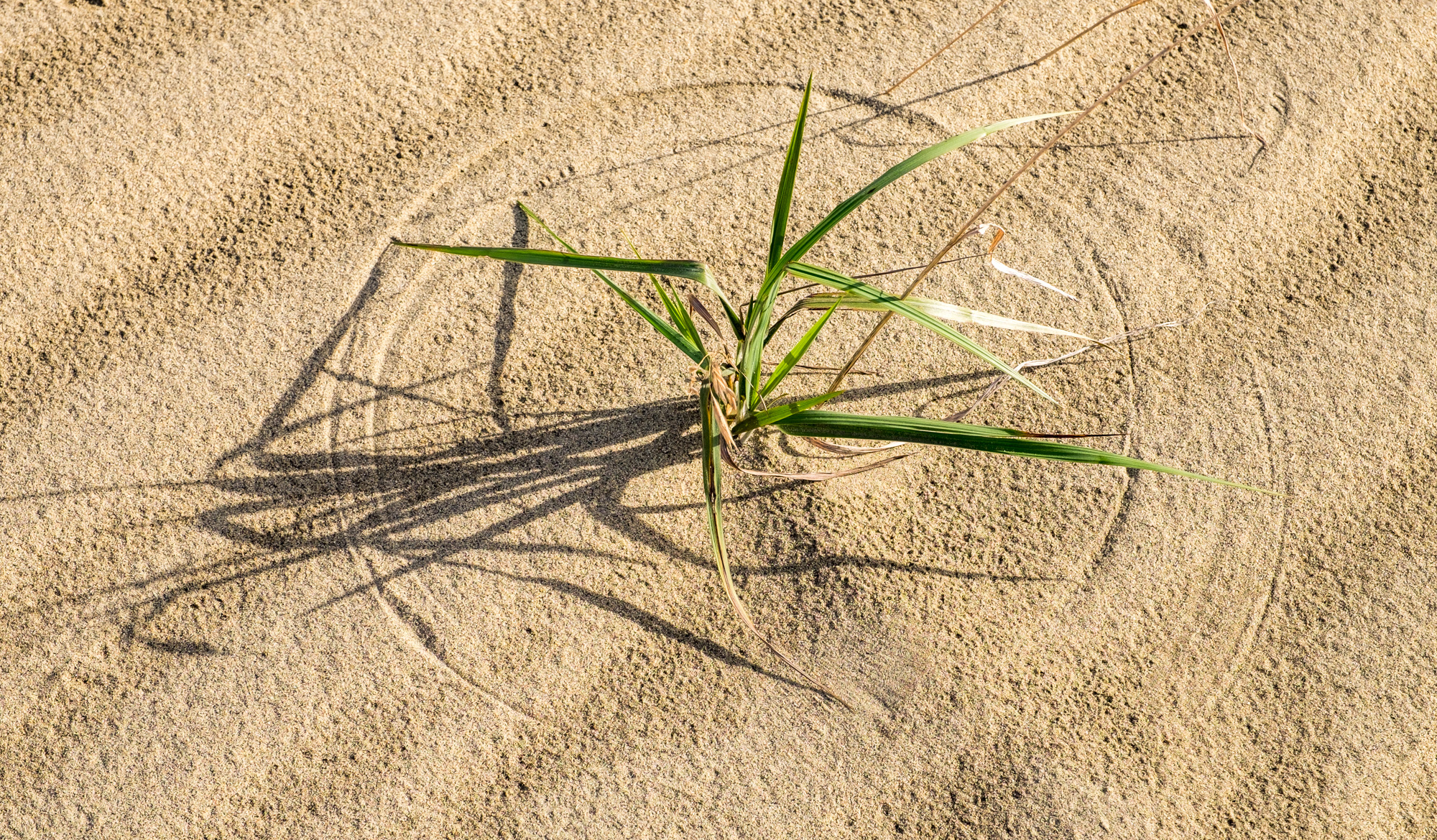 Wind blows the grasses in circles atop the dunes. So cool!