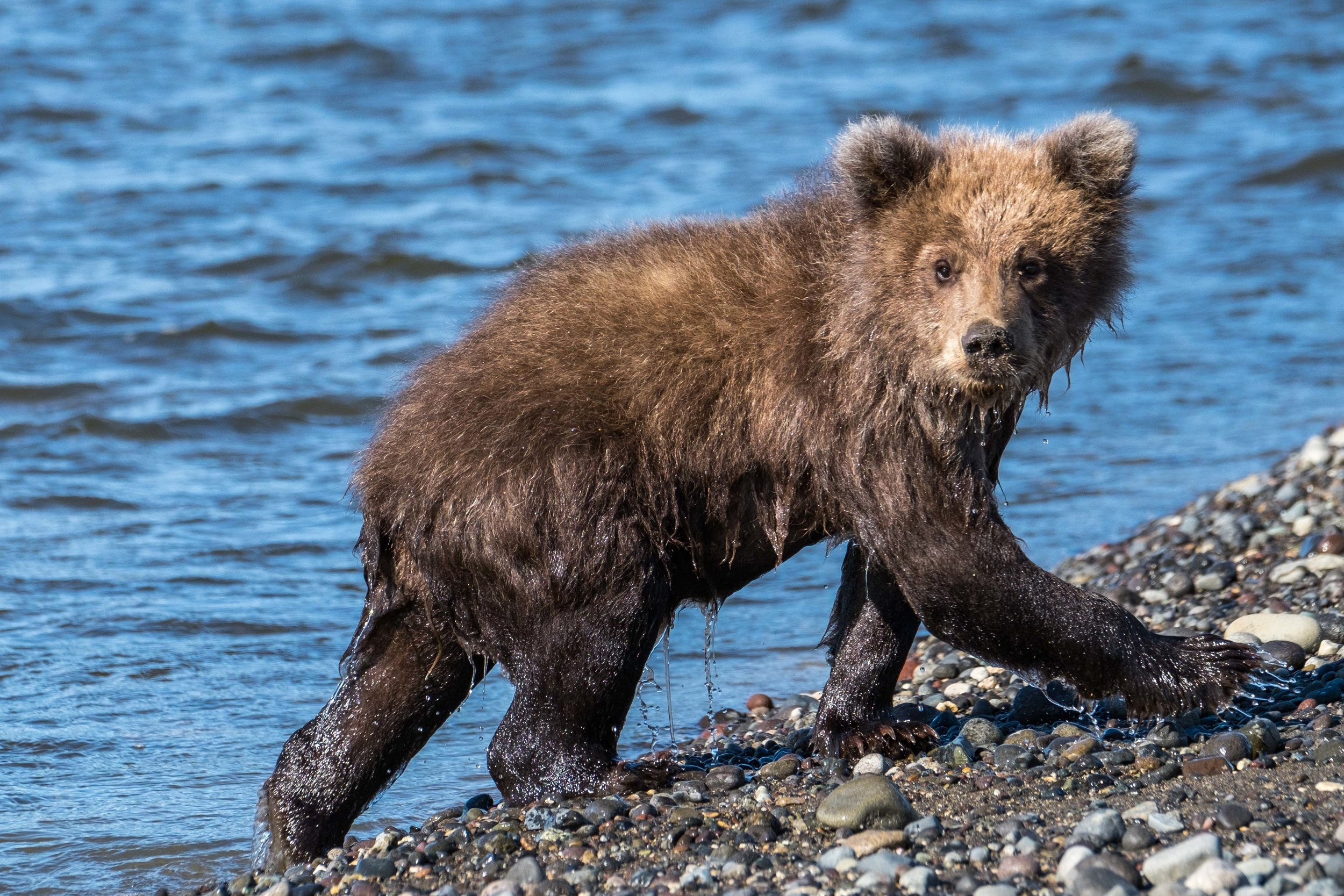 One of the cute little cubs crossing the river.