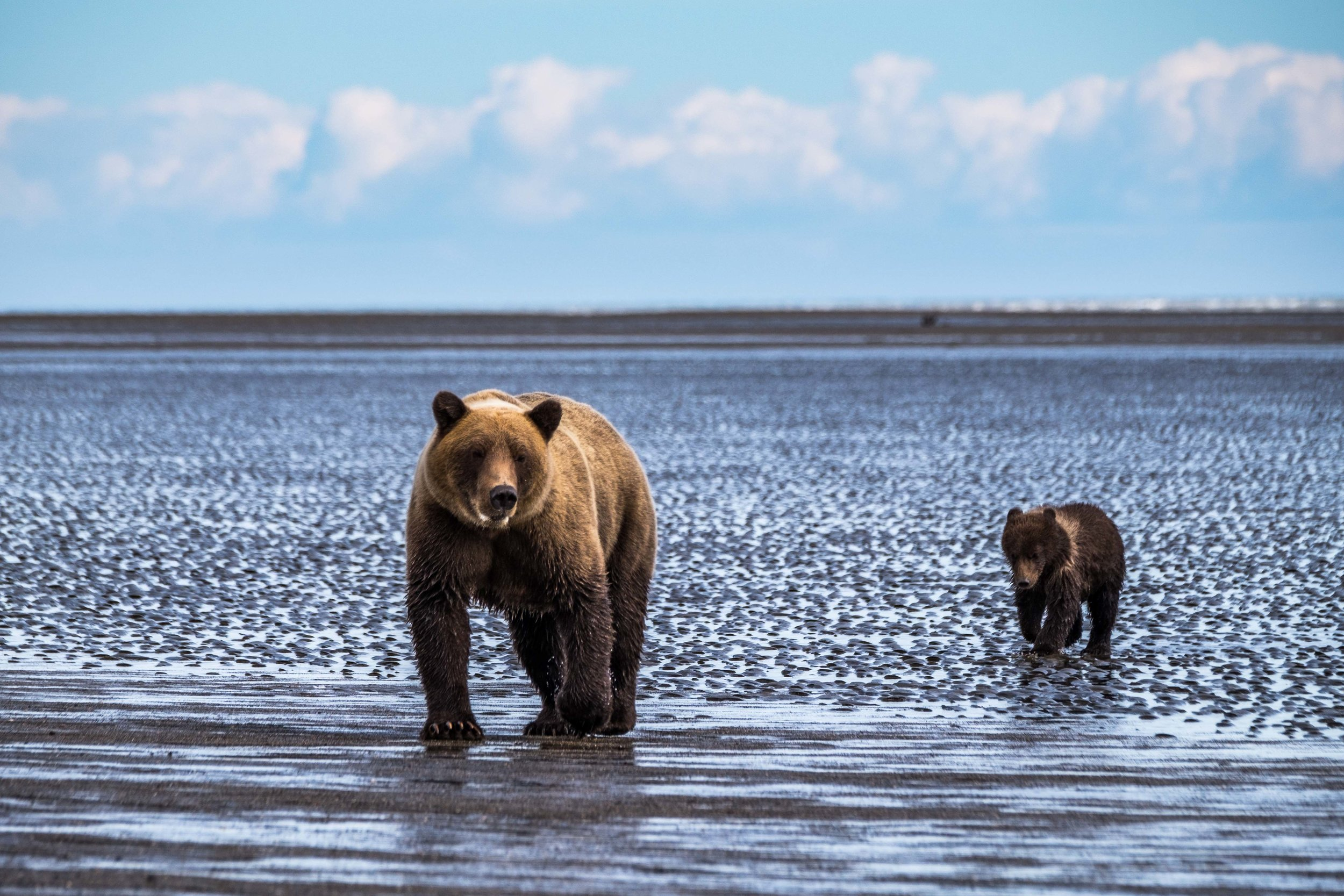 We watched as mom and the cubs came right down the beach, not far from us, and passed us right by. She trusted us to be that close to her cubs, which was incredible.