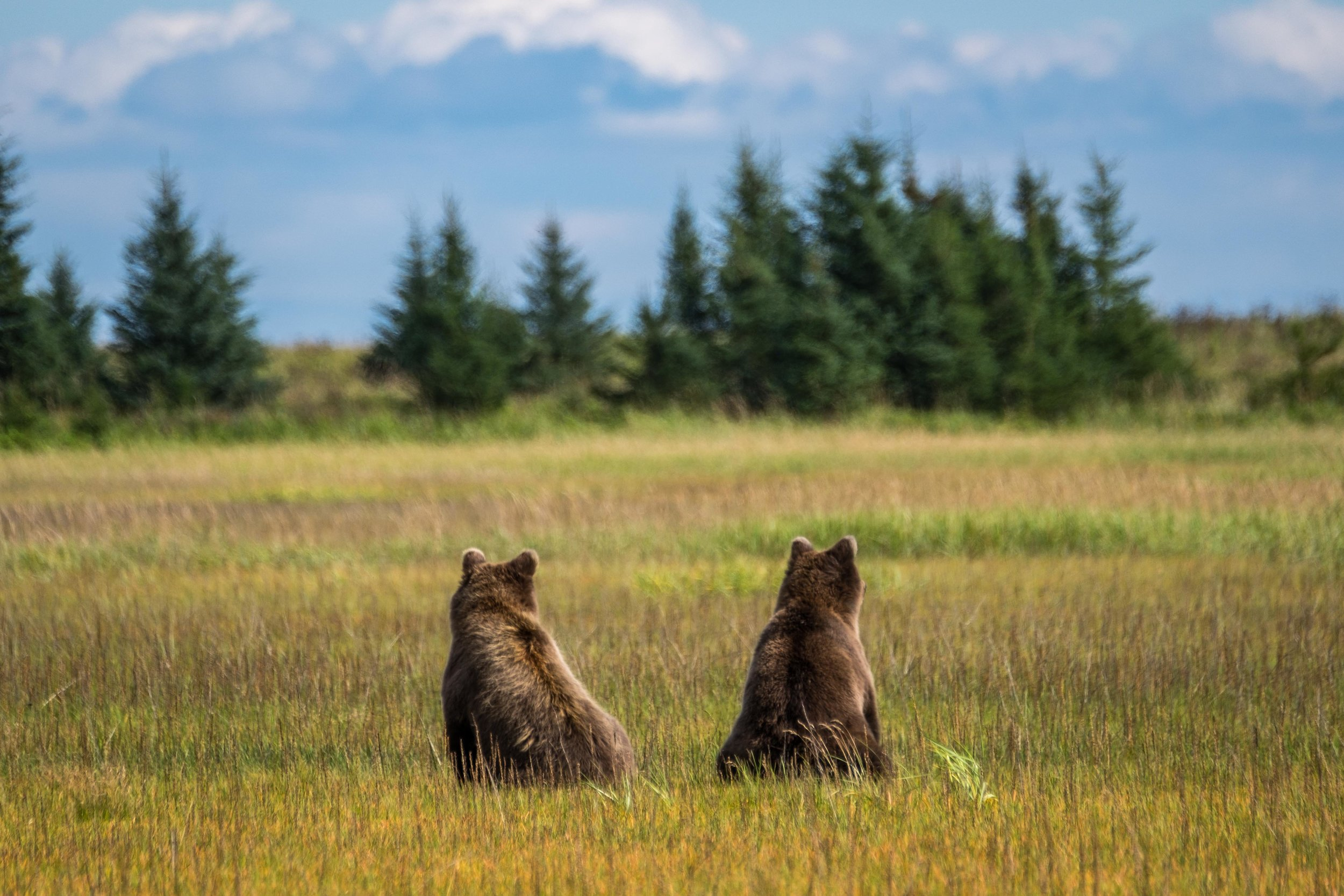 The two juveniles were lounging in the field right outside our lodge.