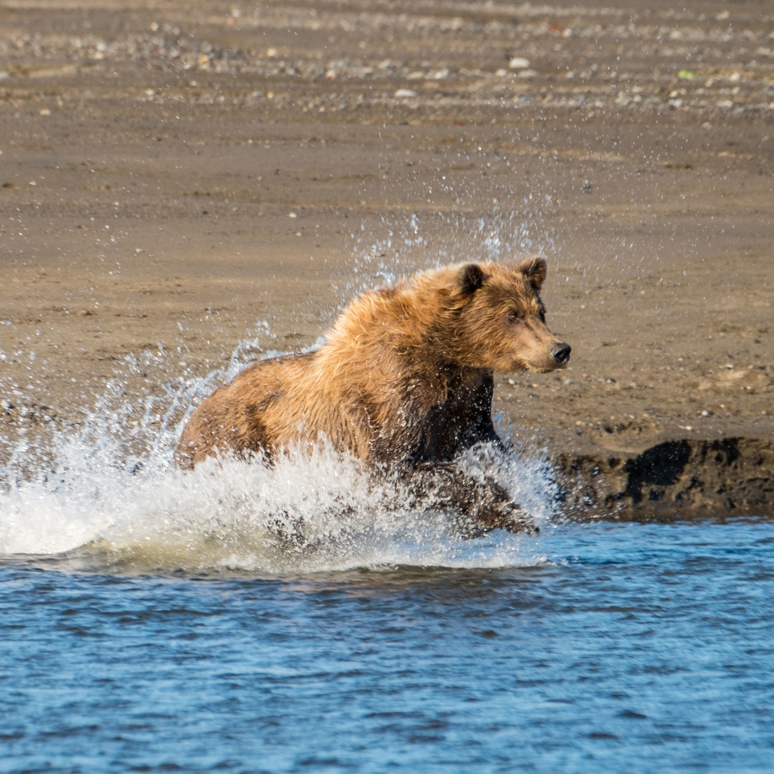 ...a sow spots a salmon and takes off into the water in a flurry of action. It kept us on our toes, as she and her cubs were not far away.