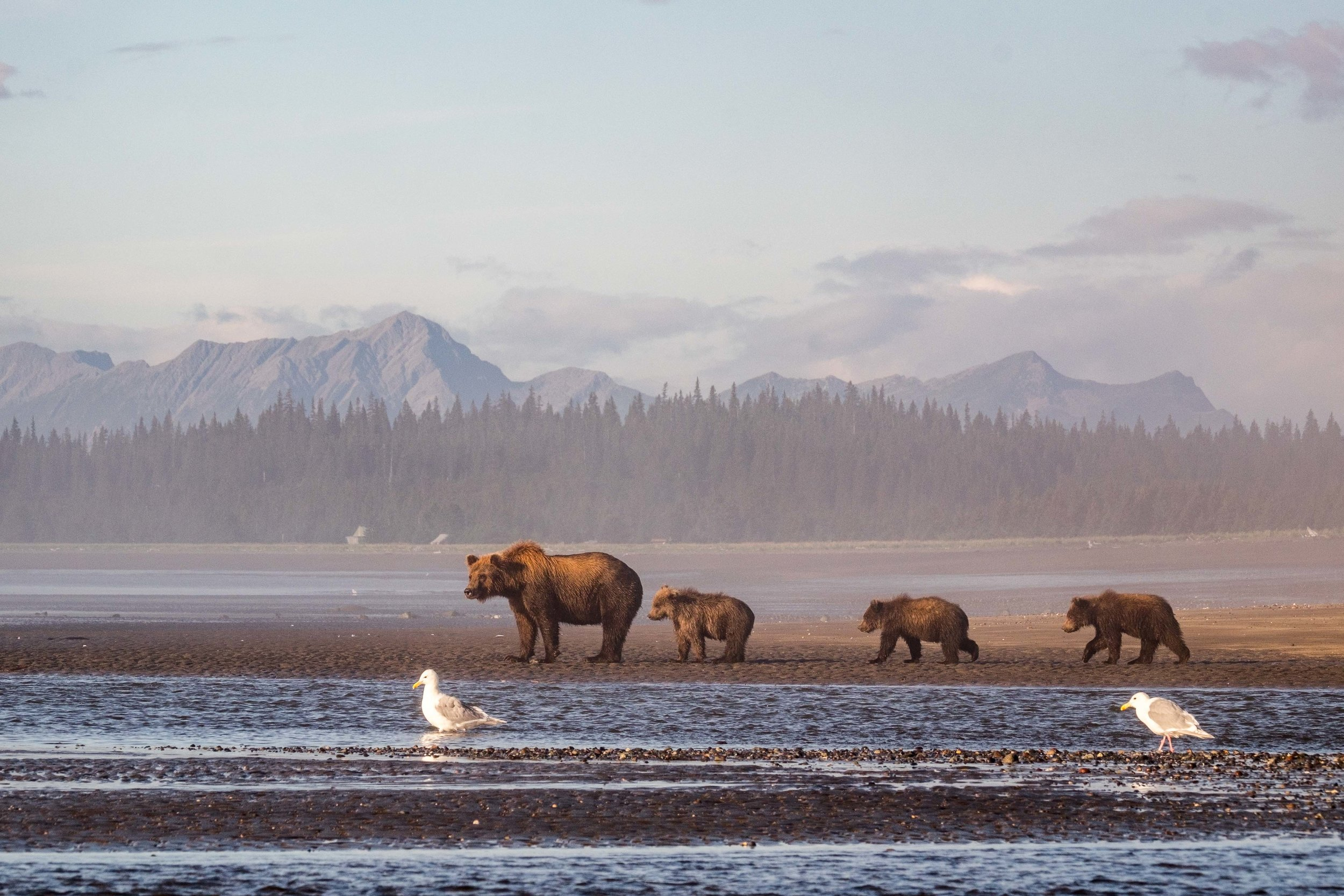 A sow coastal brown bear on the shores of the Cook Inlet with her cubs in tow.