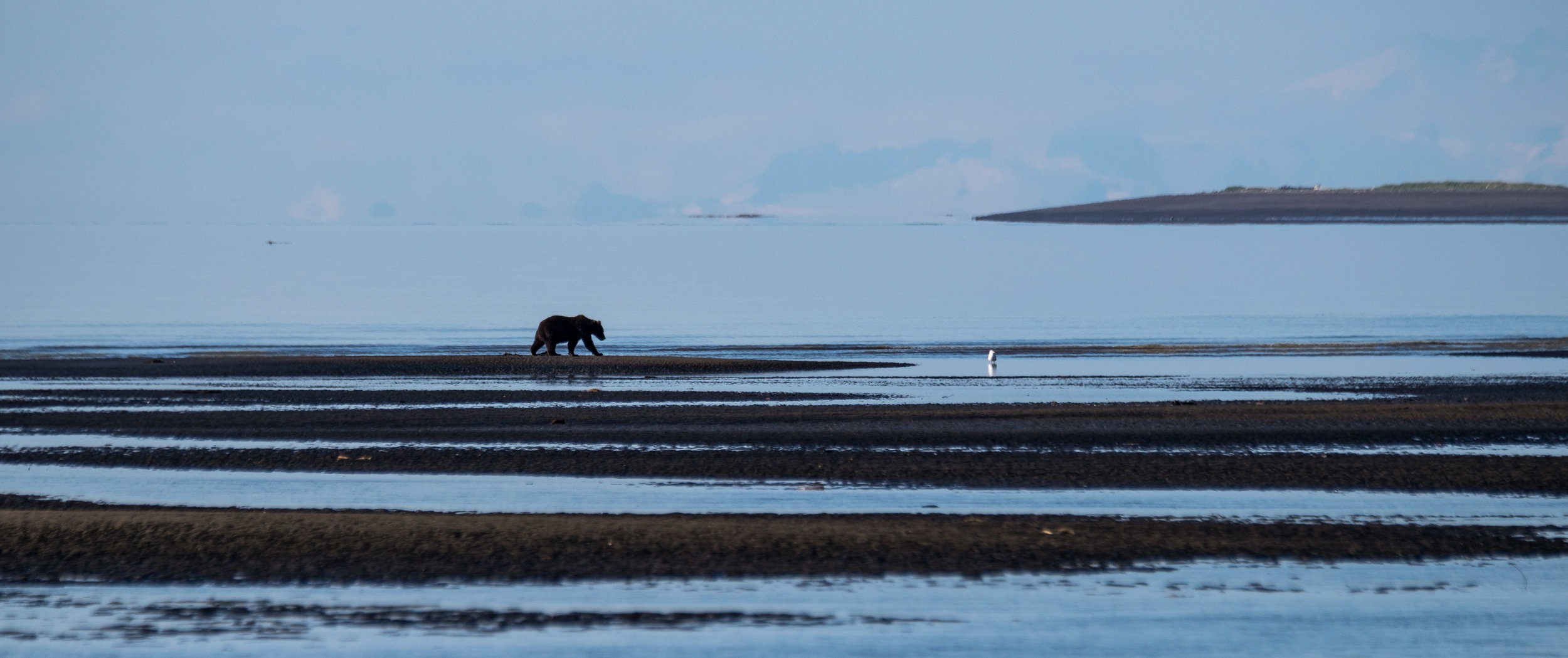 A coastal brown bear in his natural habitat on the Cook Inlet in Lake Clark National Park and Preserve in Alaska.